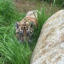 David Alan II - Siberian Tiger