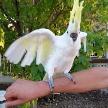 Sweetheart - Sulphur-Crested Cockatoo