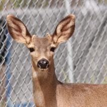 Cliff - Black-Tailed Deer