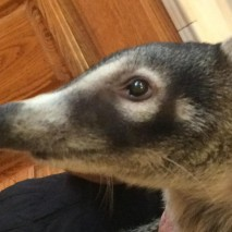 Bernie Mundi - White-nosed Coatimundi