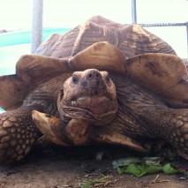 Gargantua - Sulcata Tortoise