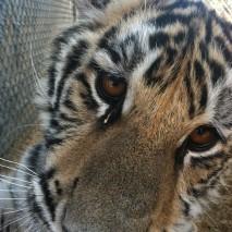 Lapua - Bengal Tiger