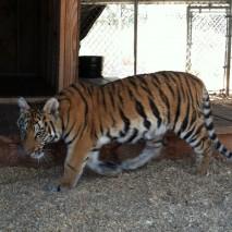 Adara - Bengal Tiger