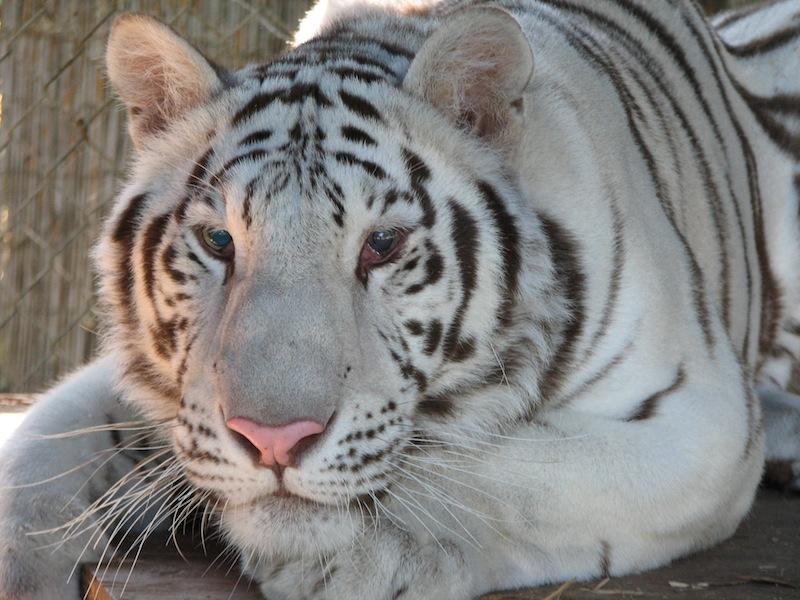 Dana - Bengal Tiger