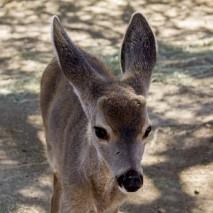 Toby - Black-Tailed Deer