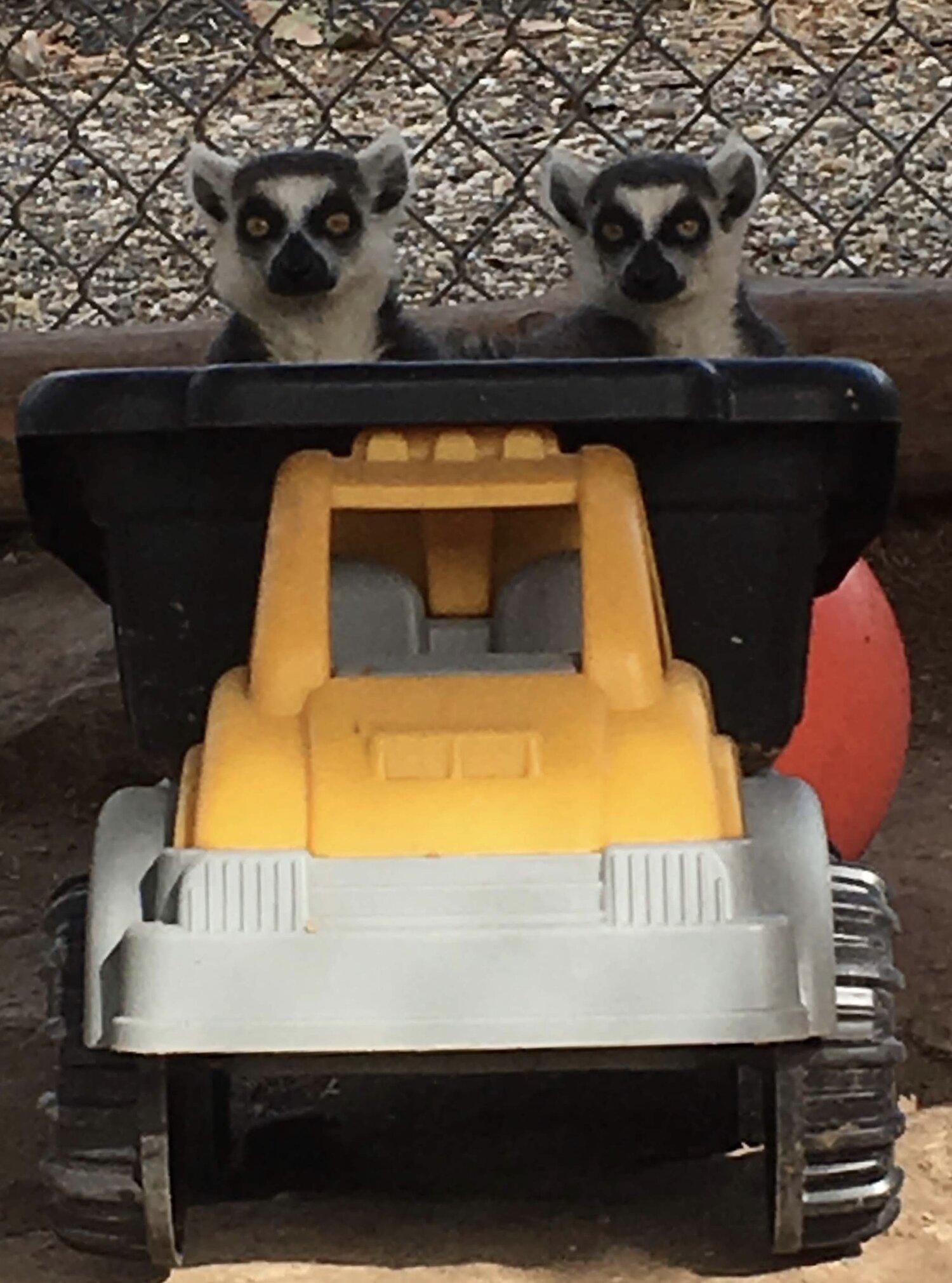 Kaholo & Ilea - Ring-Tailed Lemurs.jpg