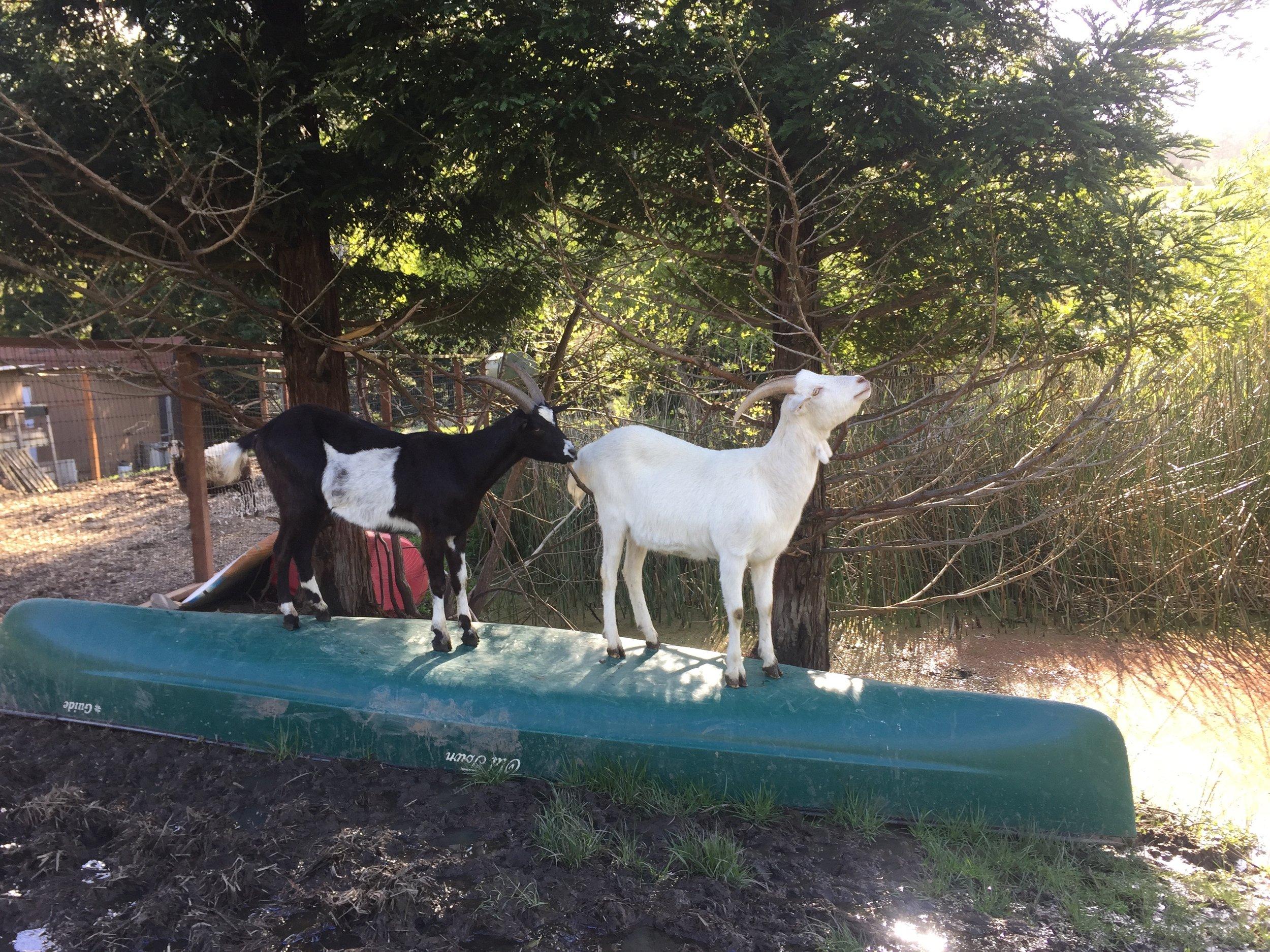 GoatsReggieRufus.jpg