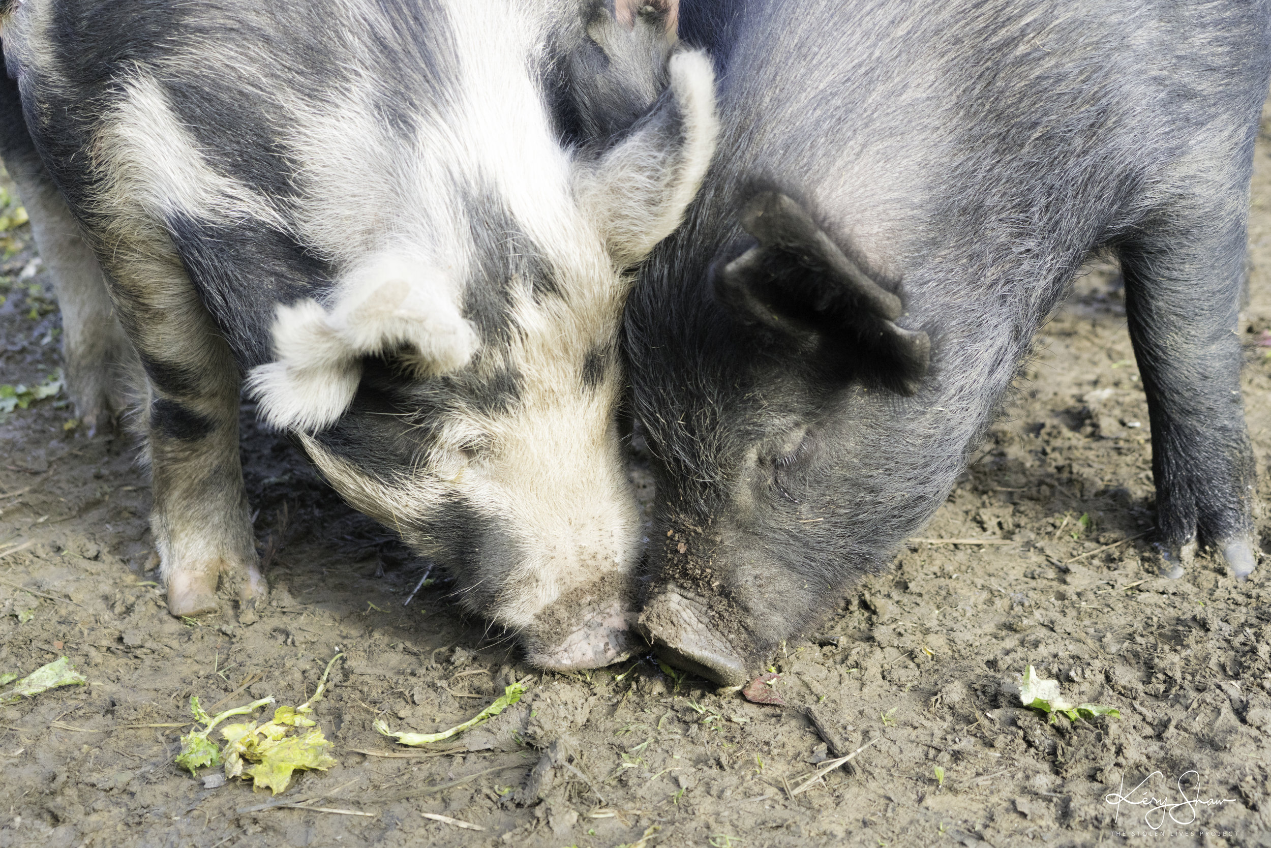 PigsGooberGamber.jpg