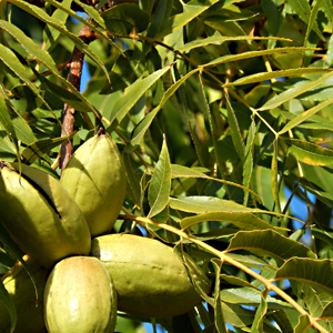 AAMCO Orchard   Ava Russell   AMMACO Orchards has been in operation since 2003. They offer delicious Sioux pecans, attracting customers from all over the United States.