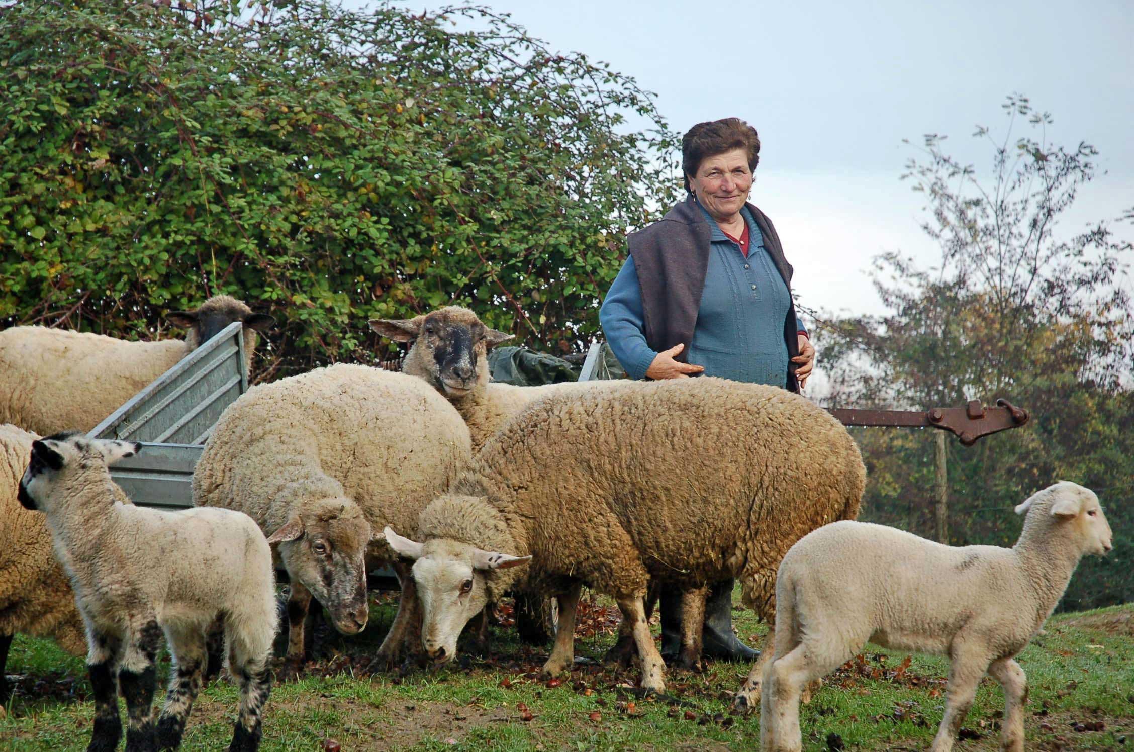 Tending the sheep