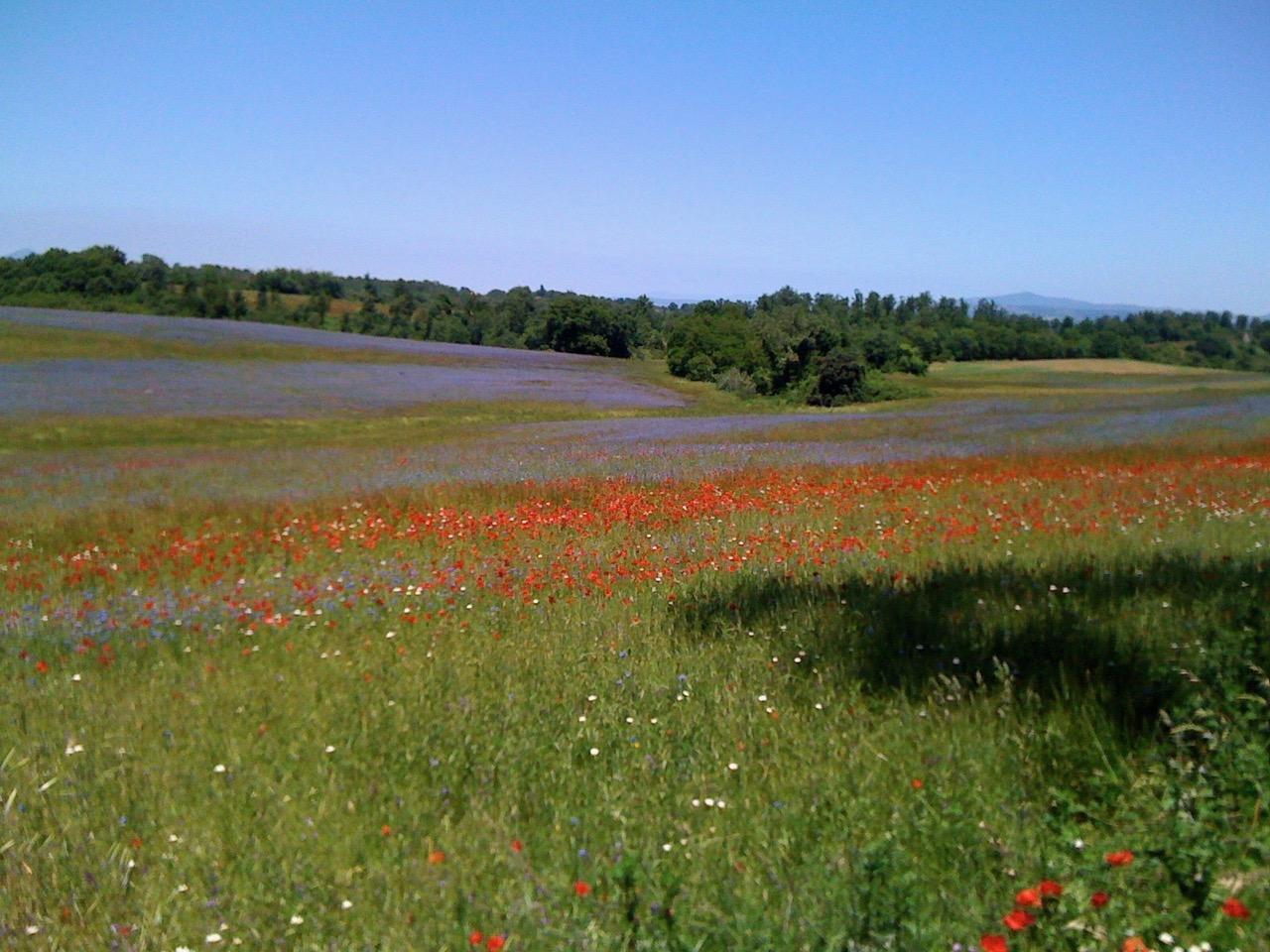 Wildflowers near Torre Alfina