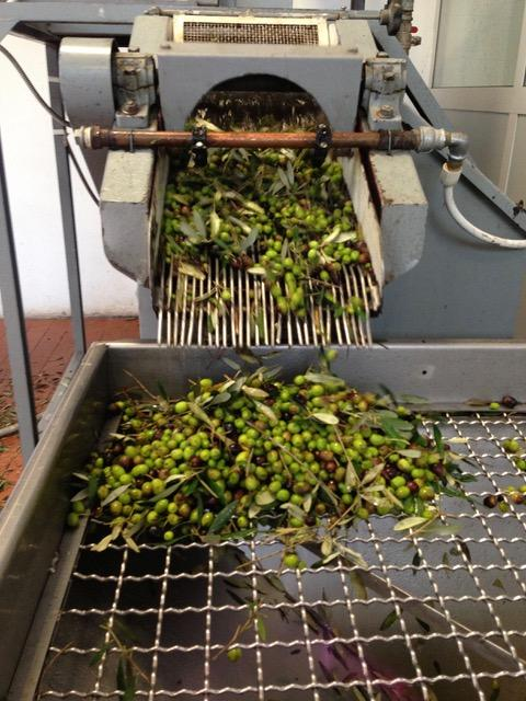 Olive sorting and cleaning