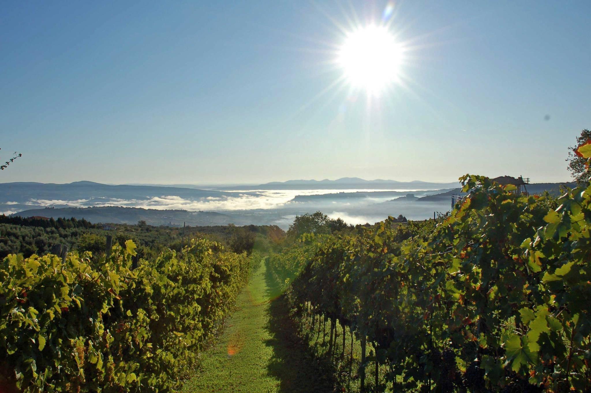 A vineyard in the sun