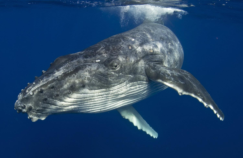 Humpback+Whale+©+Jayne+Jenkins.jpeg