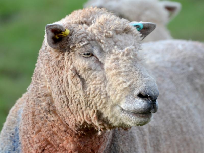 southdown-sheep-at-hill-house-farm.jpg