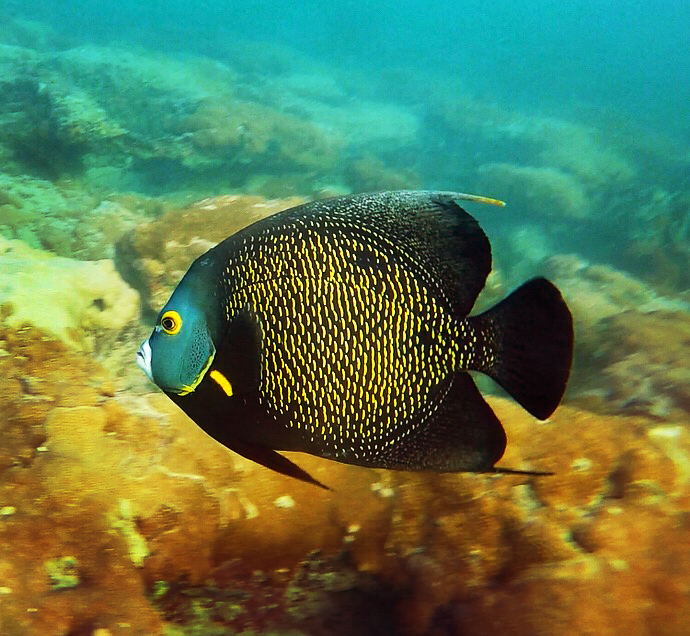 A french angelfish ( Pomacanthus paru ) glides over the reef.