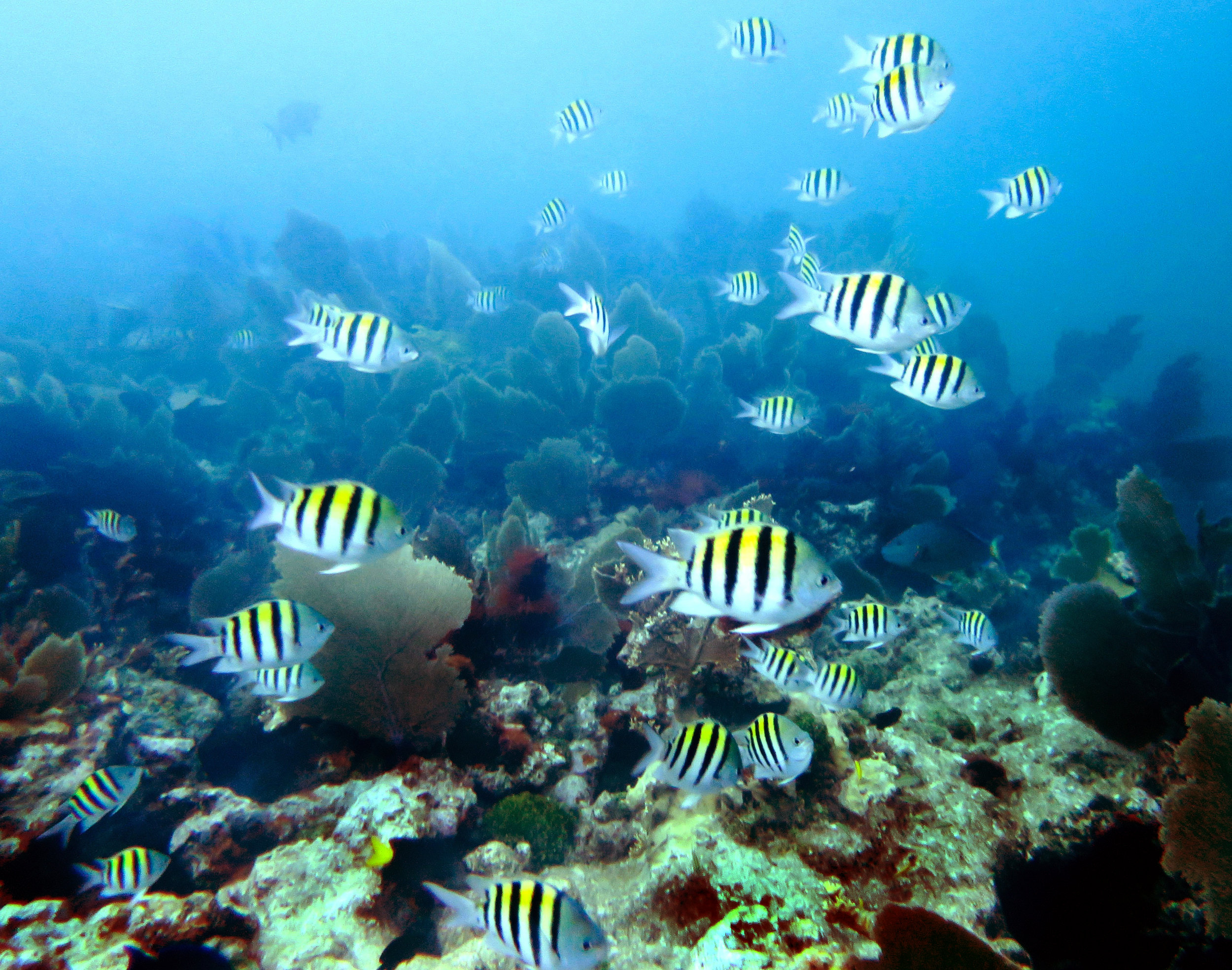 A reef teeming with sergeant major ( Abudefduf saxatilis ) and gorgonians in John Pennekamp Coral Reef State Park.