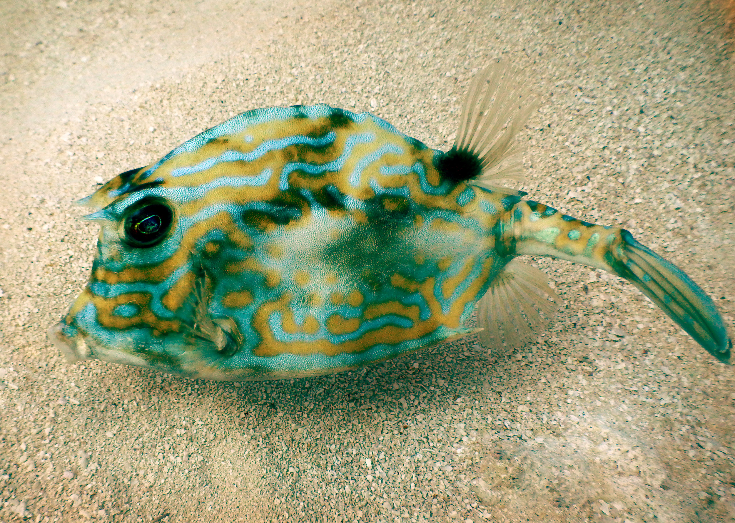 A curious cowfish off Key Biscayne, FL.