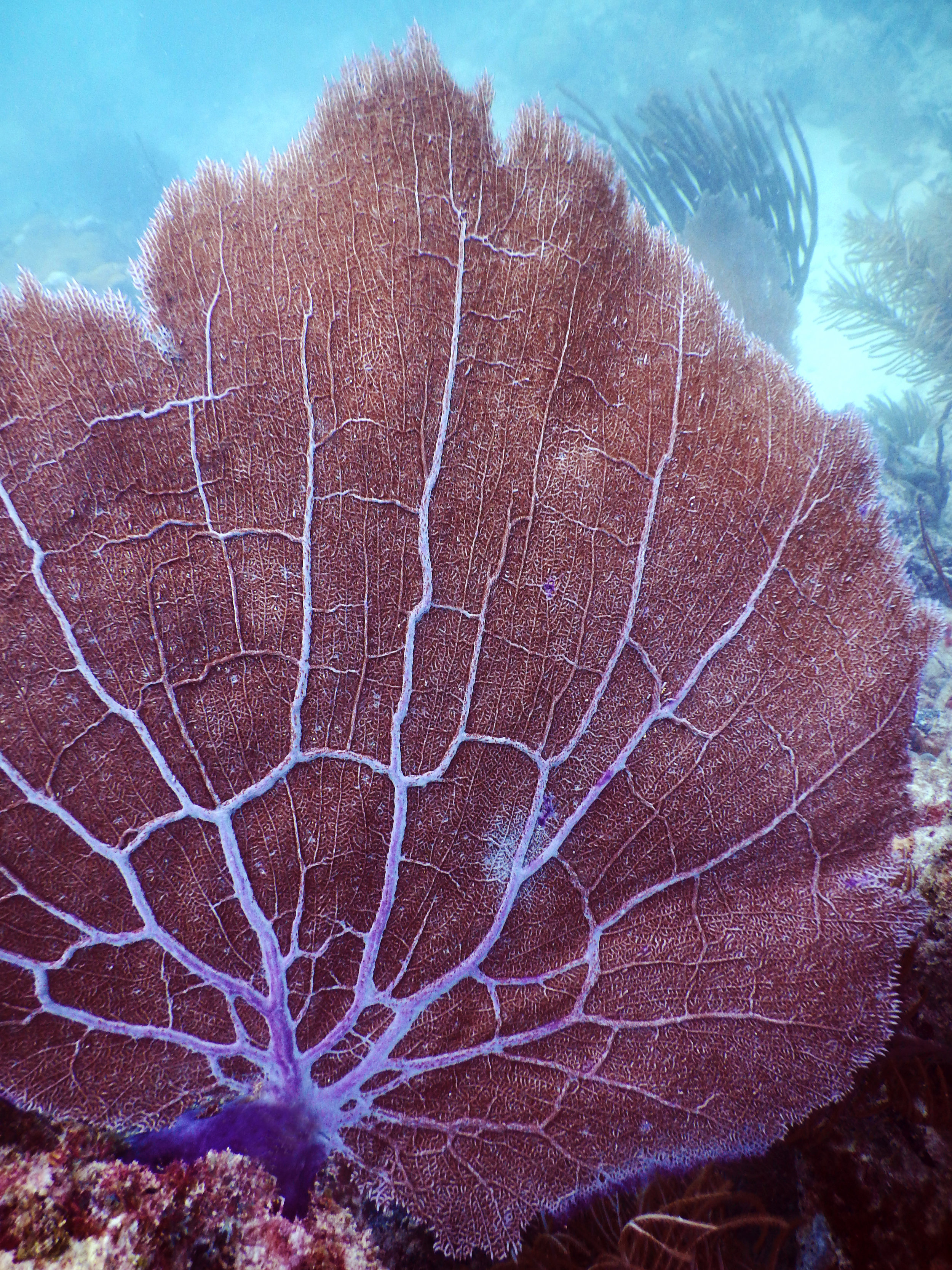 A large sea fan ( Gorgonia ventalina)  waving in the current at Emerald Reef.