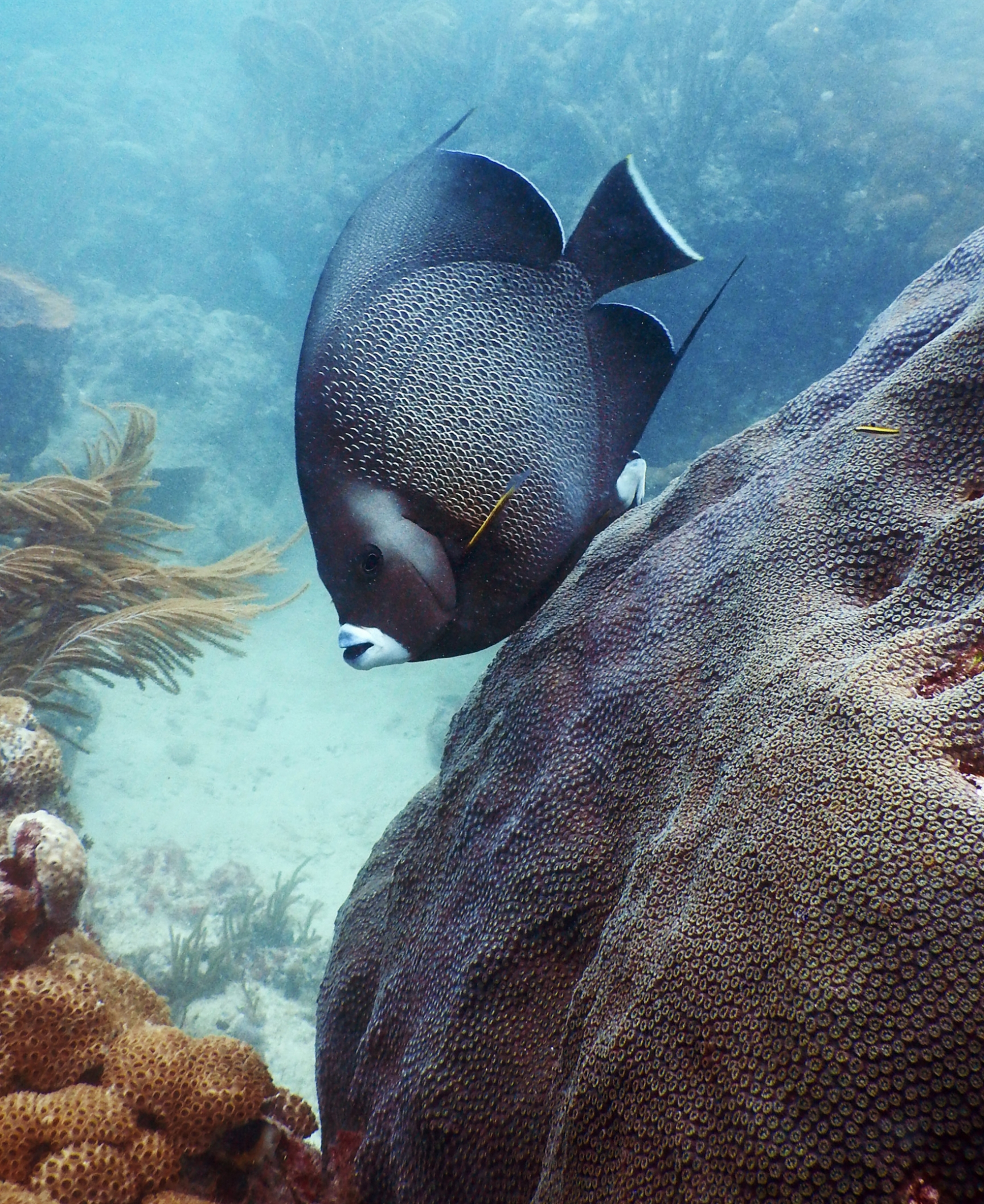 A french angelfish ( Pomacanthus paru ) swims by a colony of  Orbicella faveolata  at Emerald Reef.