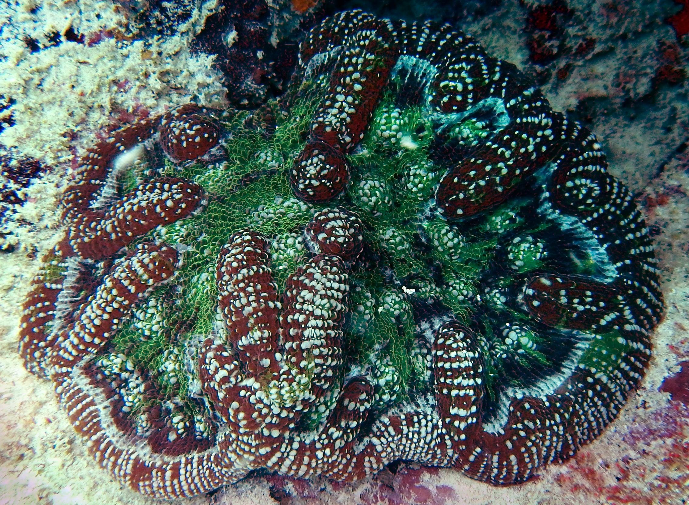 A ridged cactus coral ( Mycetophyllia lamarckiana ) at Emerald Reef, FL.
