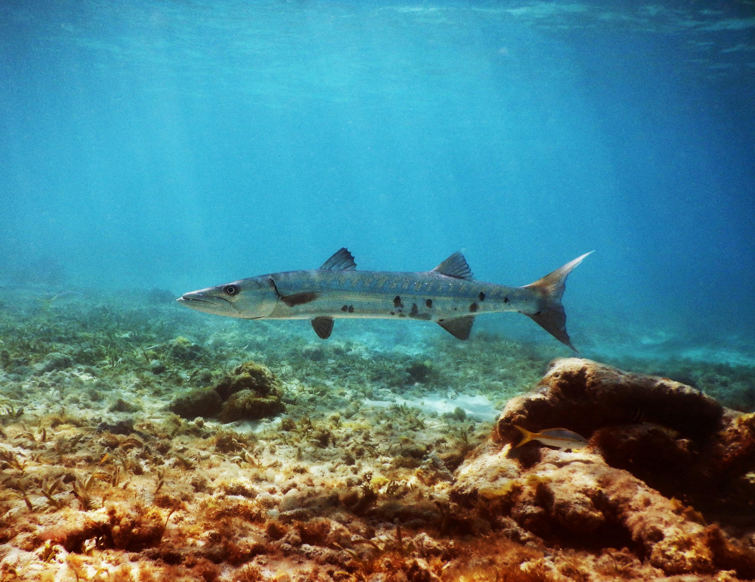 A barracuda lurks in John Pennekamp Coral Reef State Park.