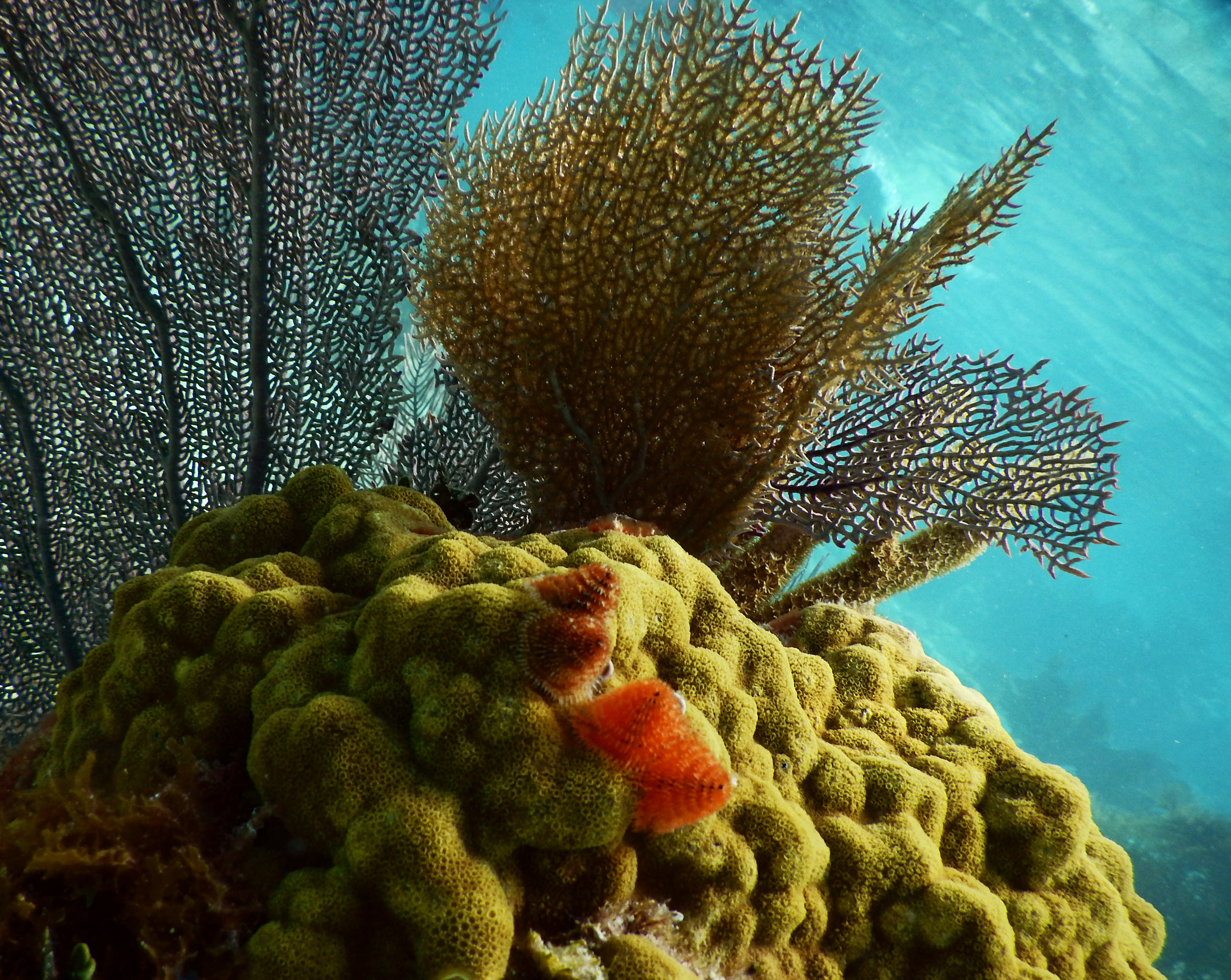 A  Porites astreoides  colony adorned with Christmas tree worms and gorgonians in John Pennekamp Coral Reef State Park.