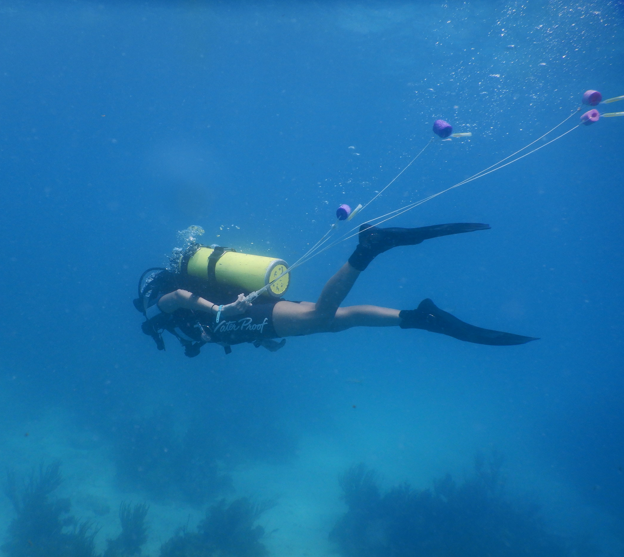 A diver carries buoys to attach to each colony we suspect might spawn after dark. The colors of the buoys help divers identify the genotype of the colony for later cross-fertilization of gametes.