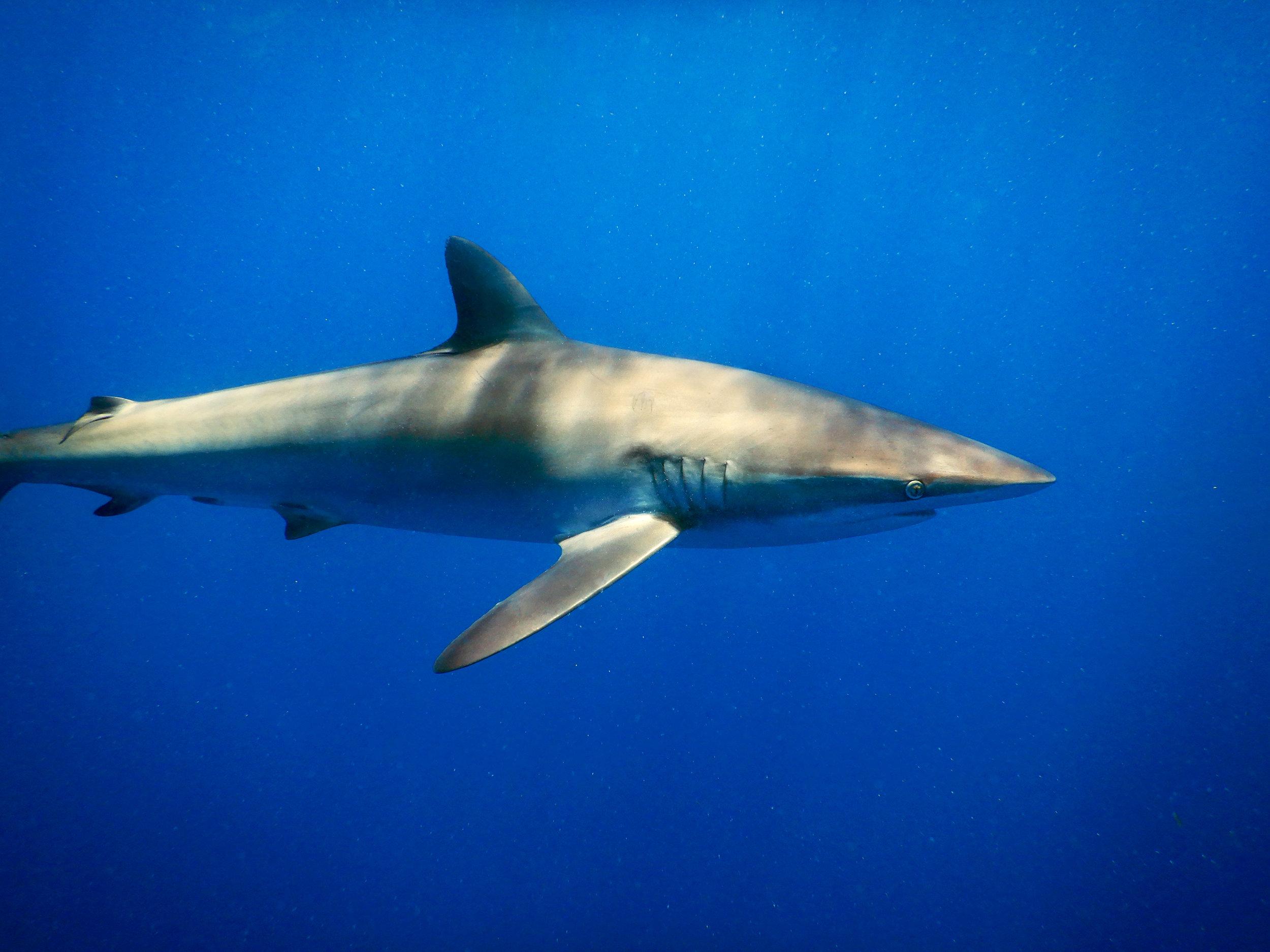 A silky shark ( Carcharhinus falciformis ) off Jupiter, FL.