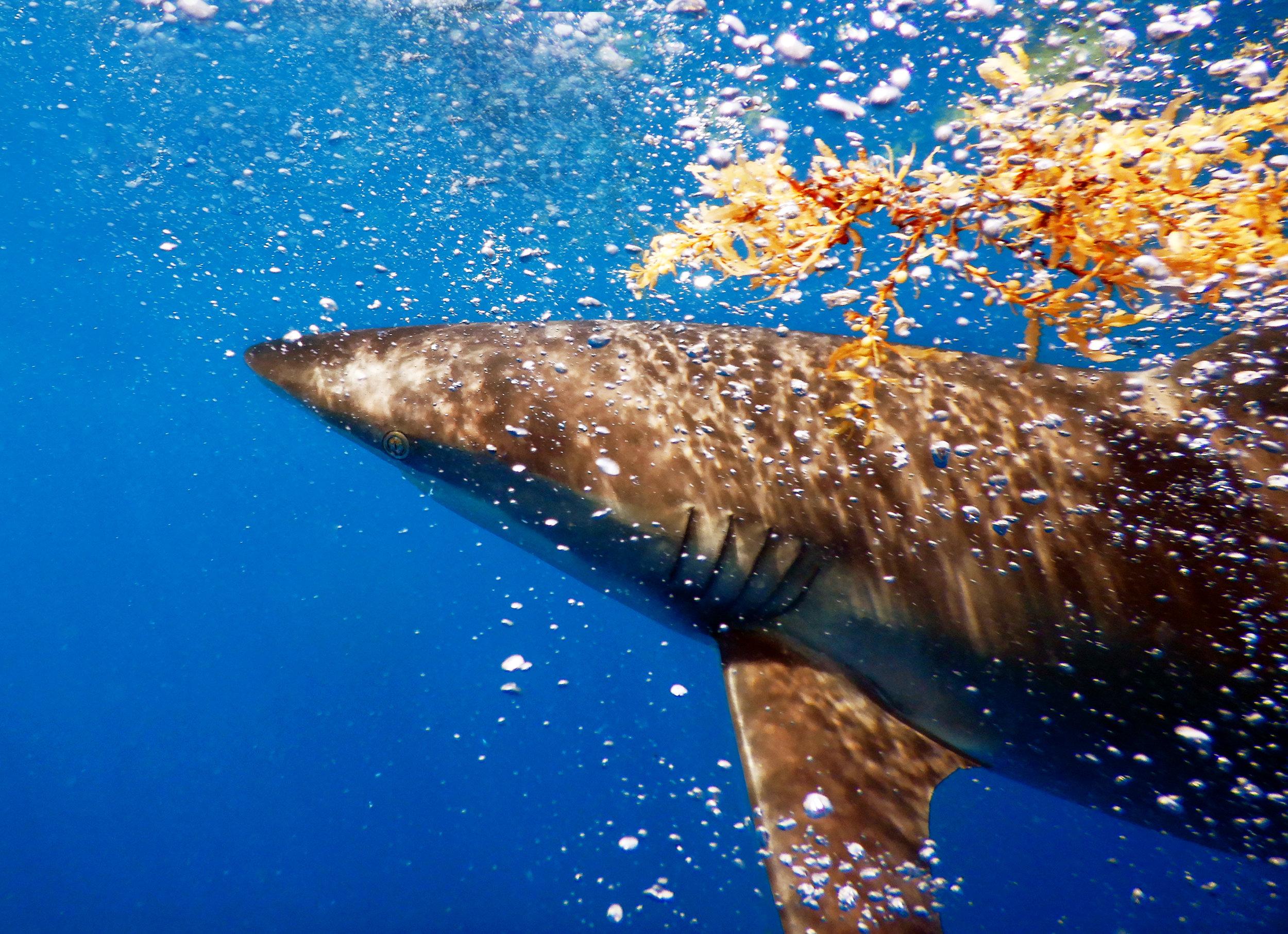 A dusky shark ( Carcharhinus obscurus ) off Jupiter, FL.