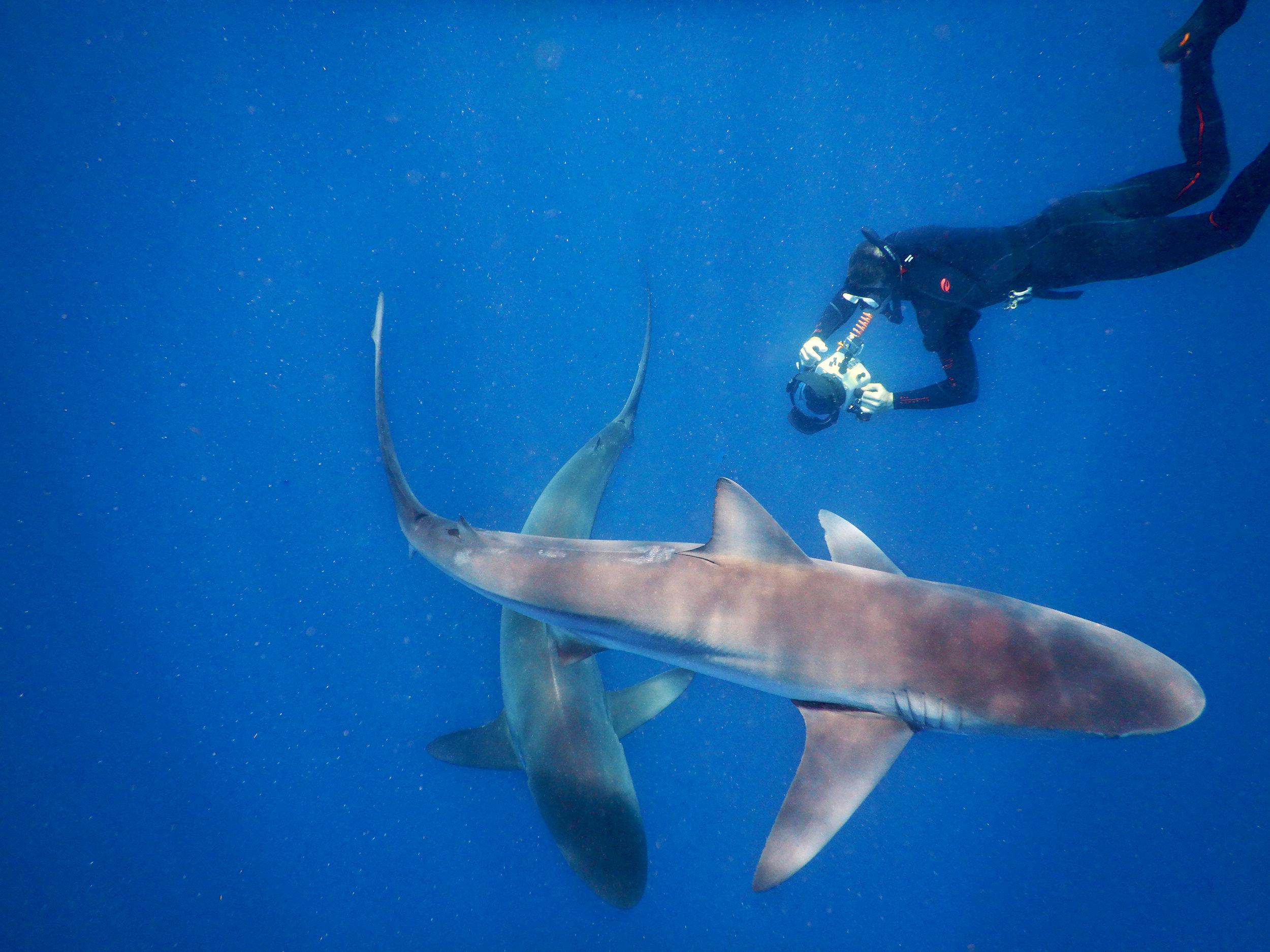 A freediver photographs a dusky shark and a silky shark off Jupiter, FL.