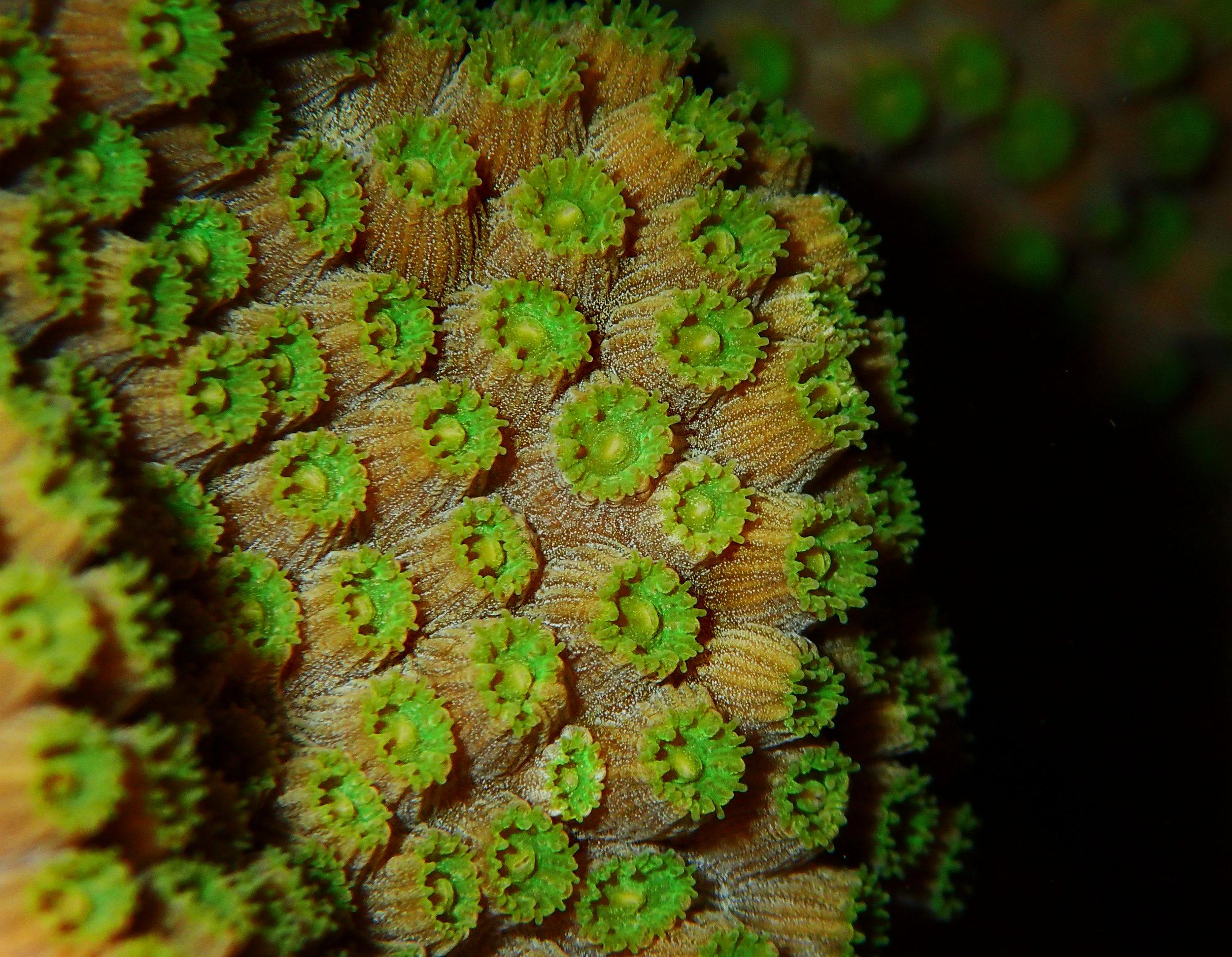 Orbicella faveolata  polyps at night.