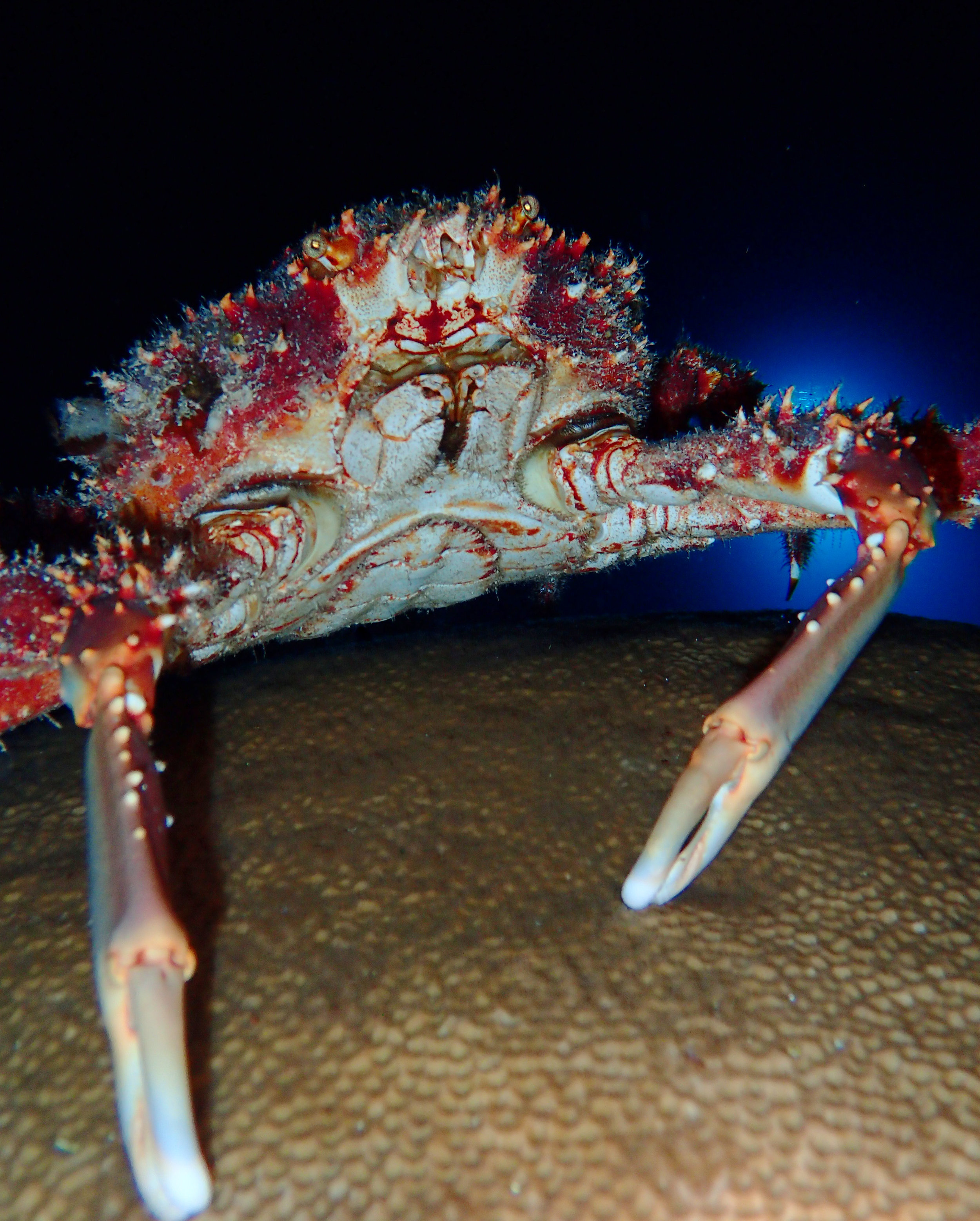A reef spider crab ( Mithrax spinosissimus ) crawls atop a colony of  Siderastrea siderea .