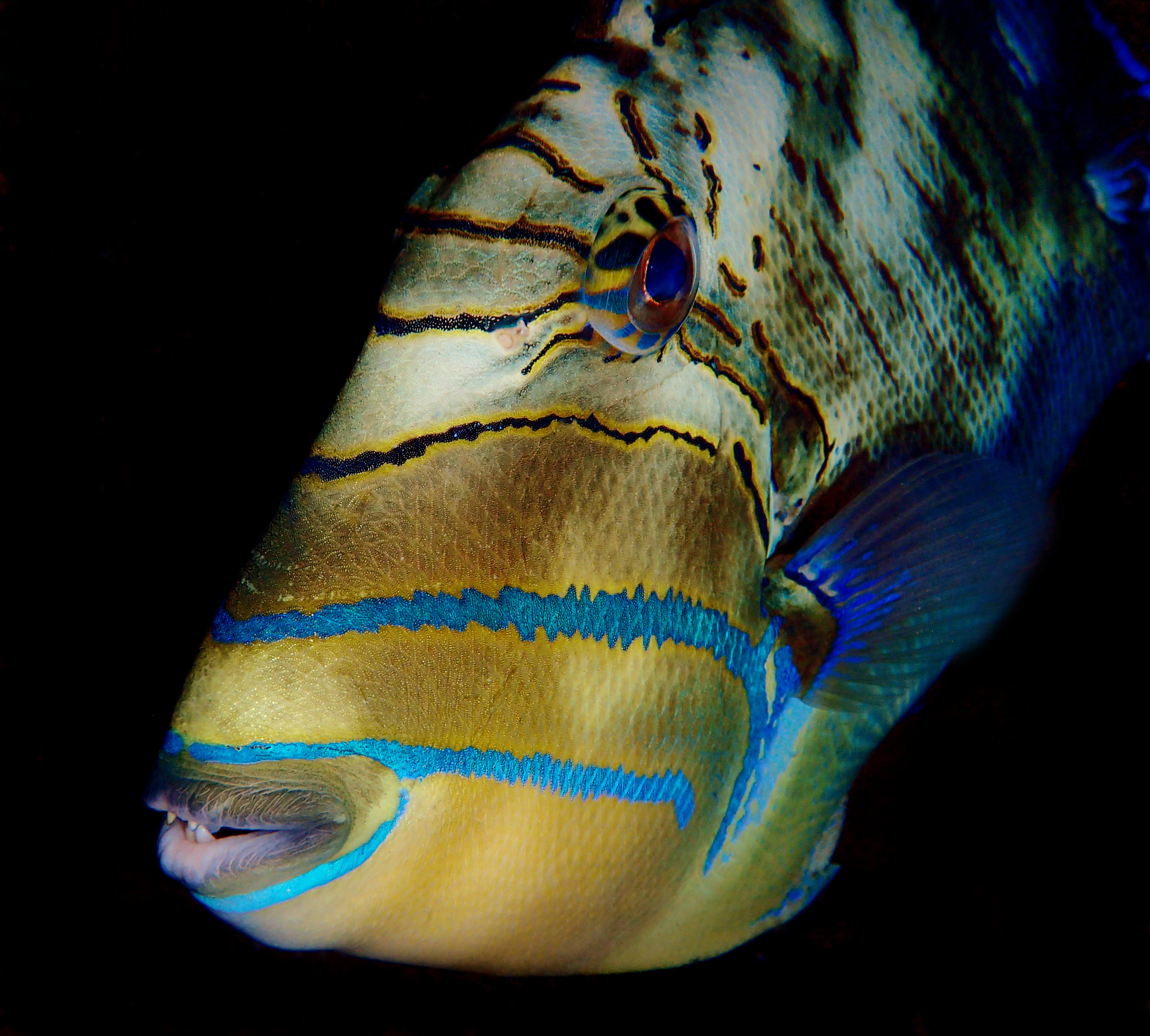 A curious queen triggerfish ( Balistes vetula ) swims by in the darkness.
