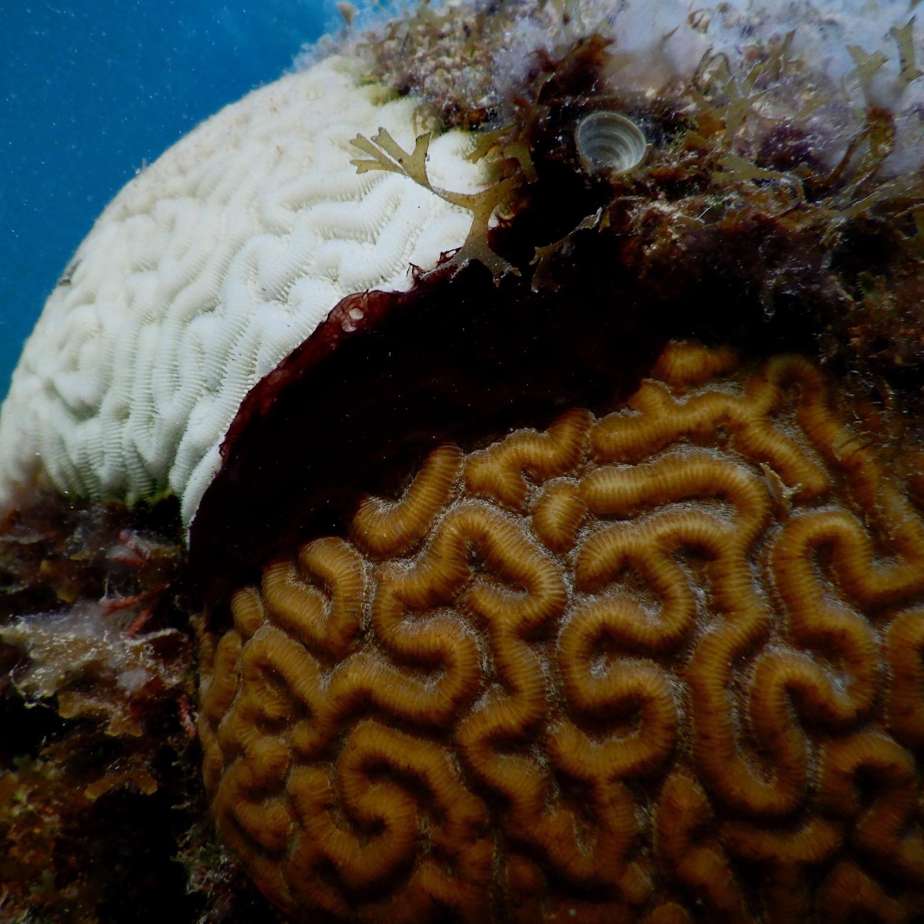 coral disease -