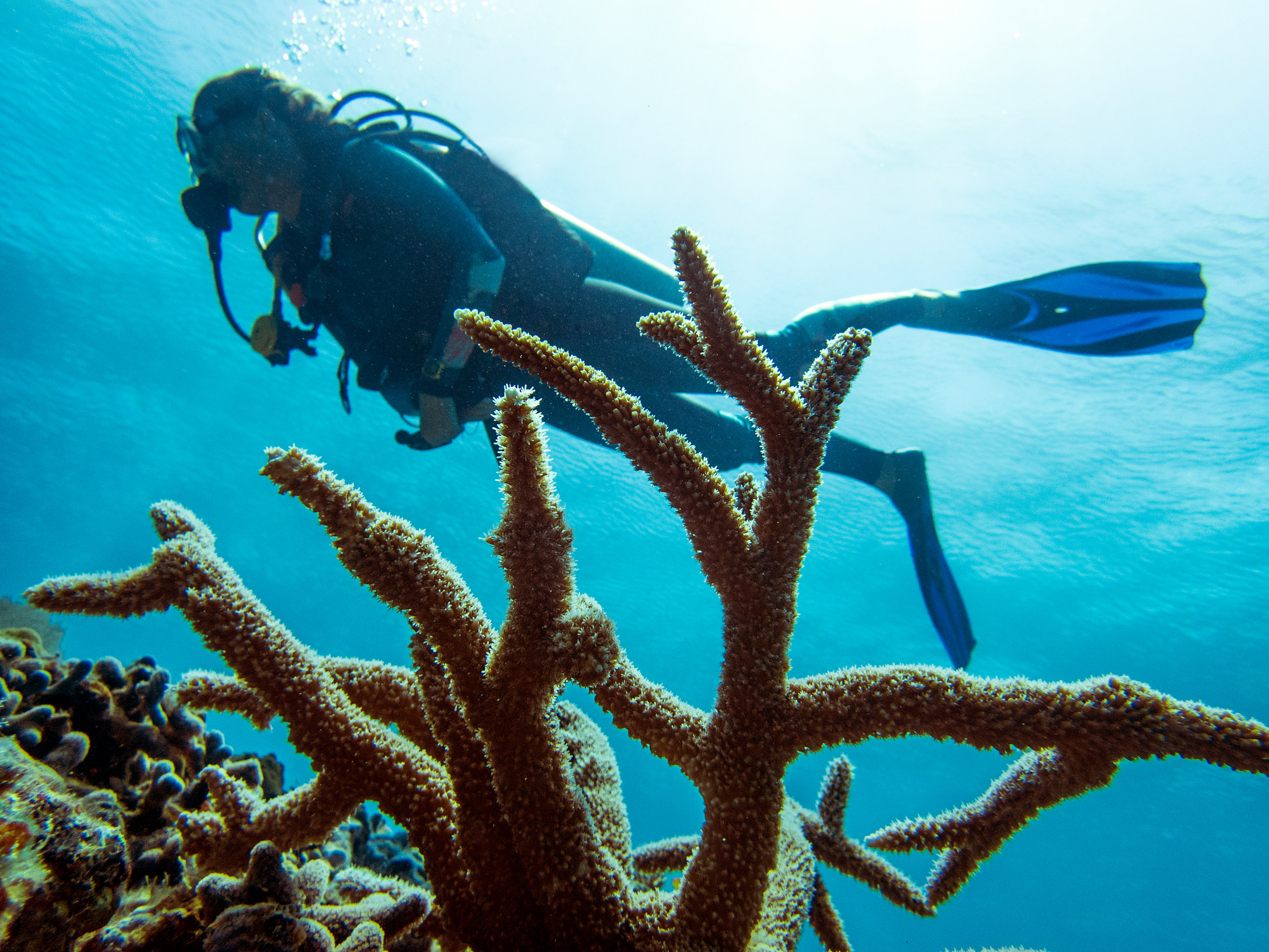 A diver swims above a colony of  Acropora cervicornis,  commonly known as staghorn coral, in Eleuthera, the Bahamas.
