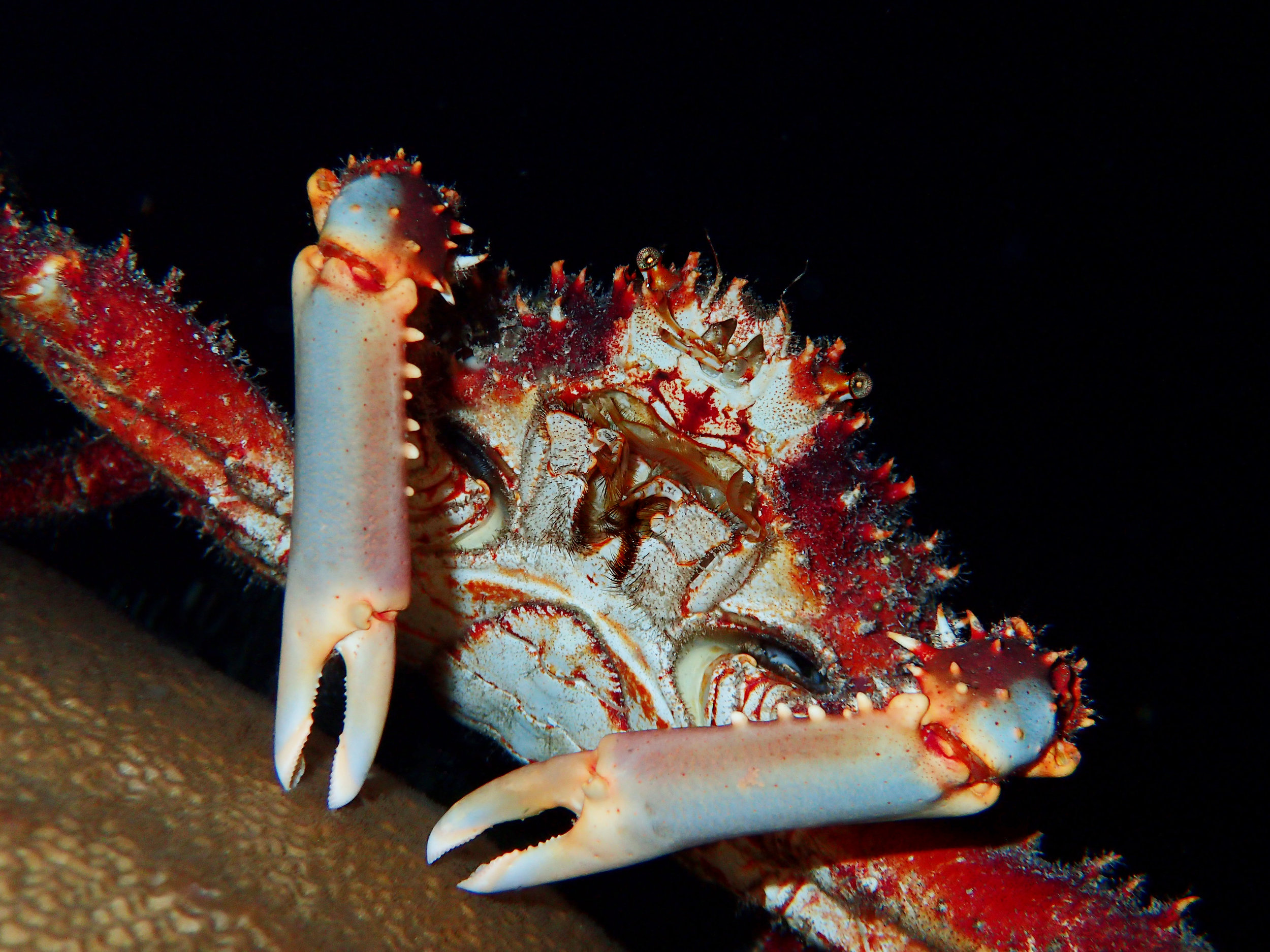 Reef spider crab ( Mithrax spinosissimus ) near Eleuthera.