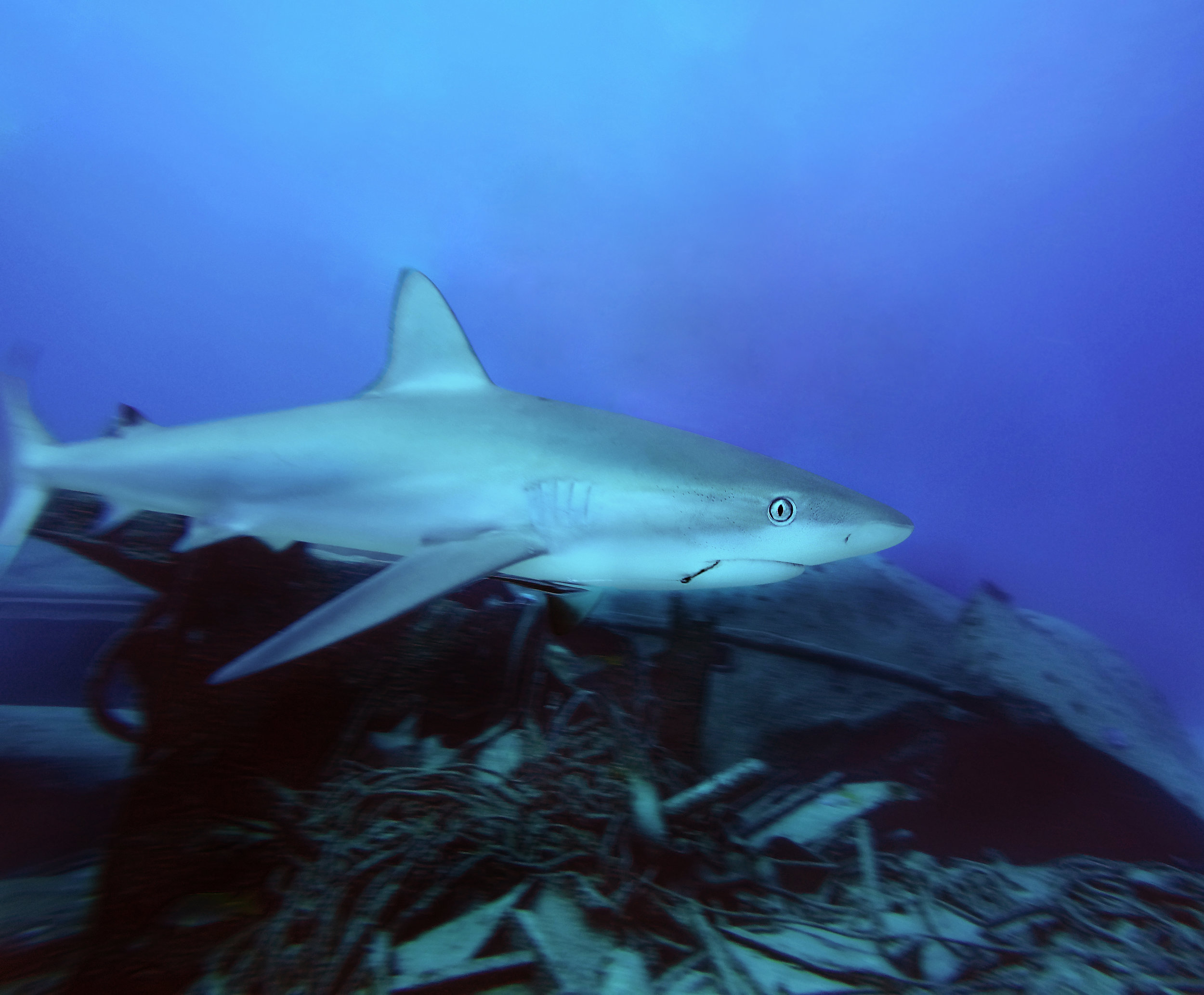 A Caribbean reef shark ( Carcharhinus perezii ) swims by a wreck off the coast of Nassau.