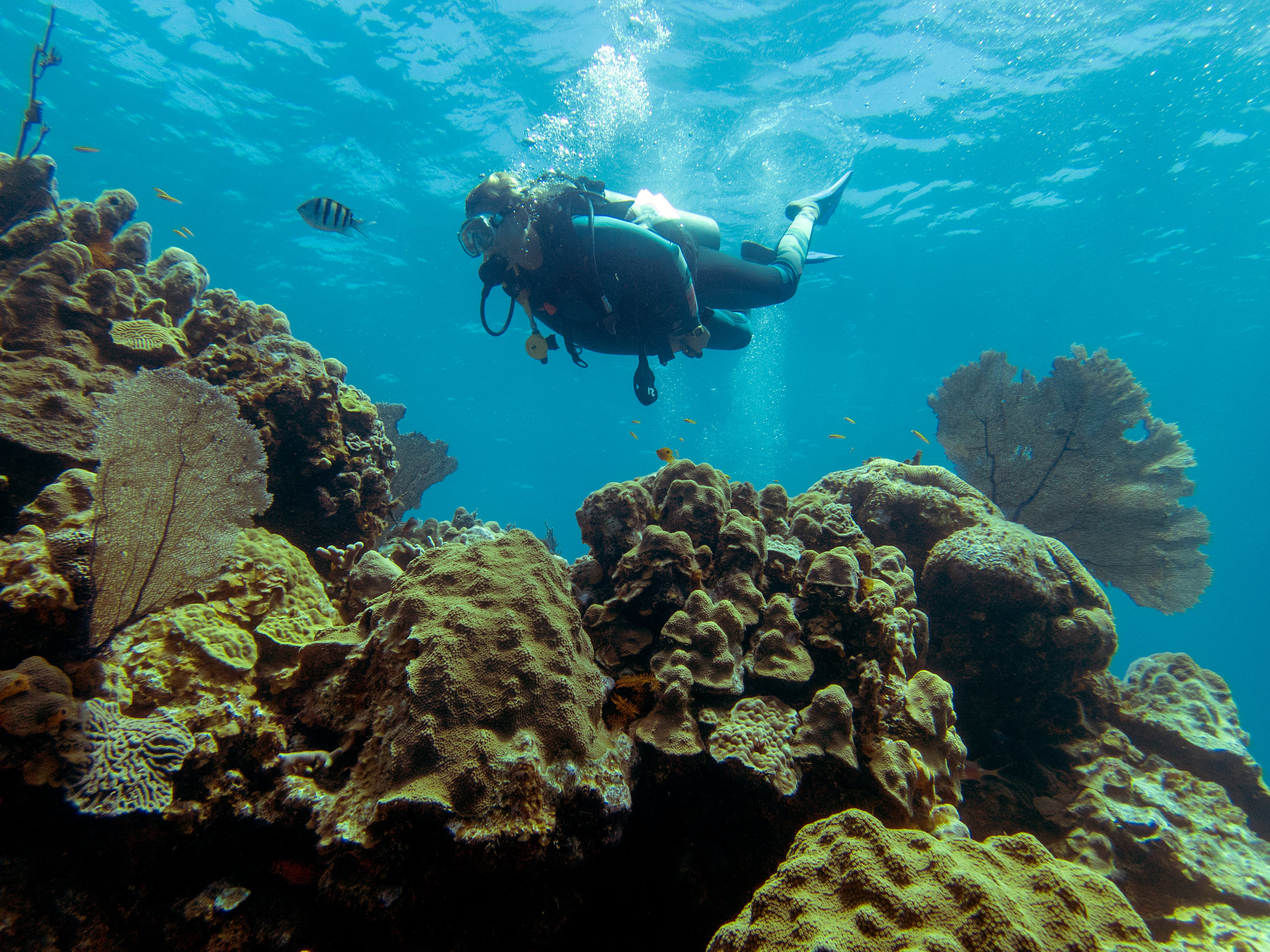A diver swims over a reef of mainly mountainous star coral ( Orbicella faveolata ) near Eleuthera.