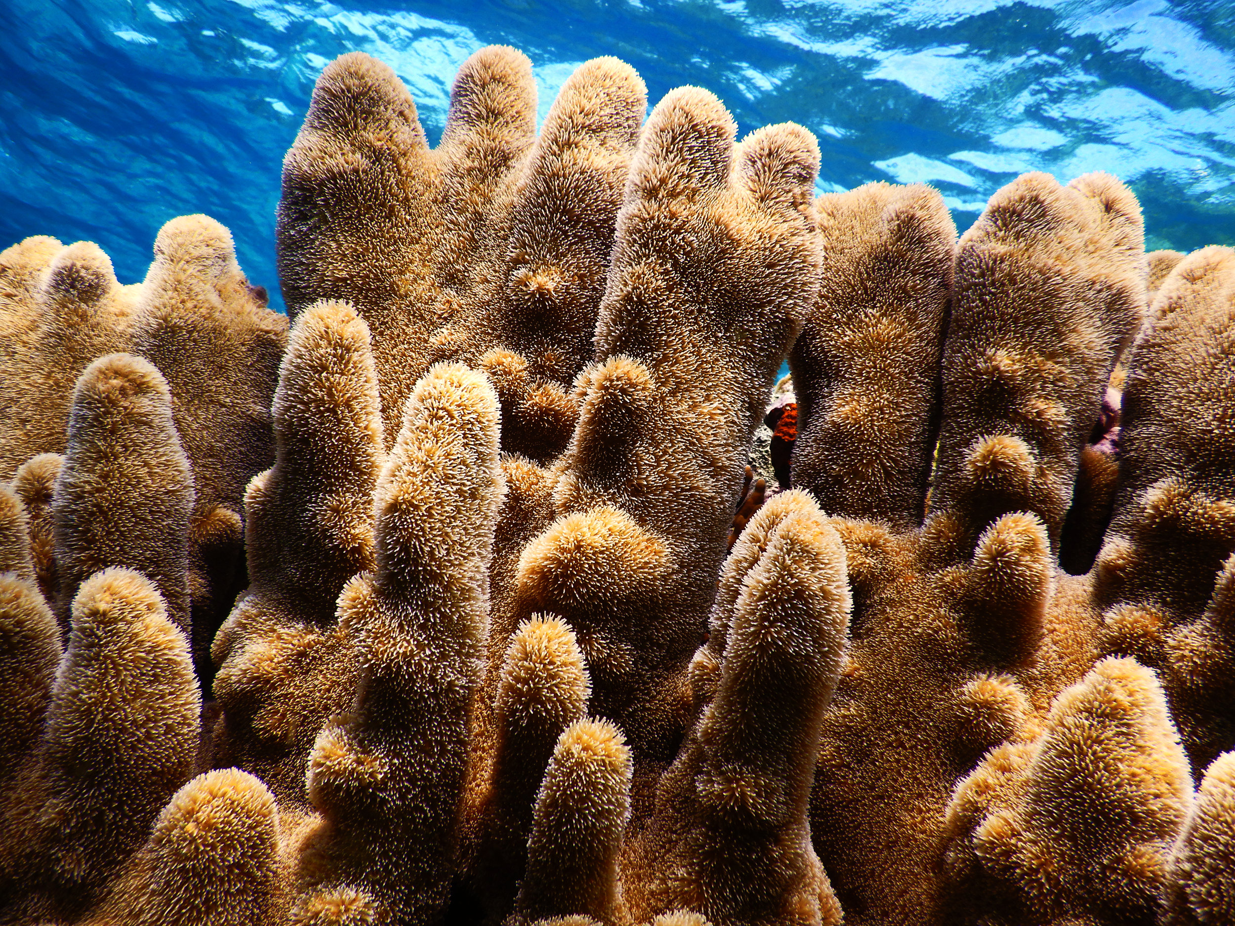 A large pillar coral ( Dendrogyra cylindrus ) colony off the coast of Abaco.