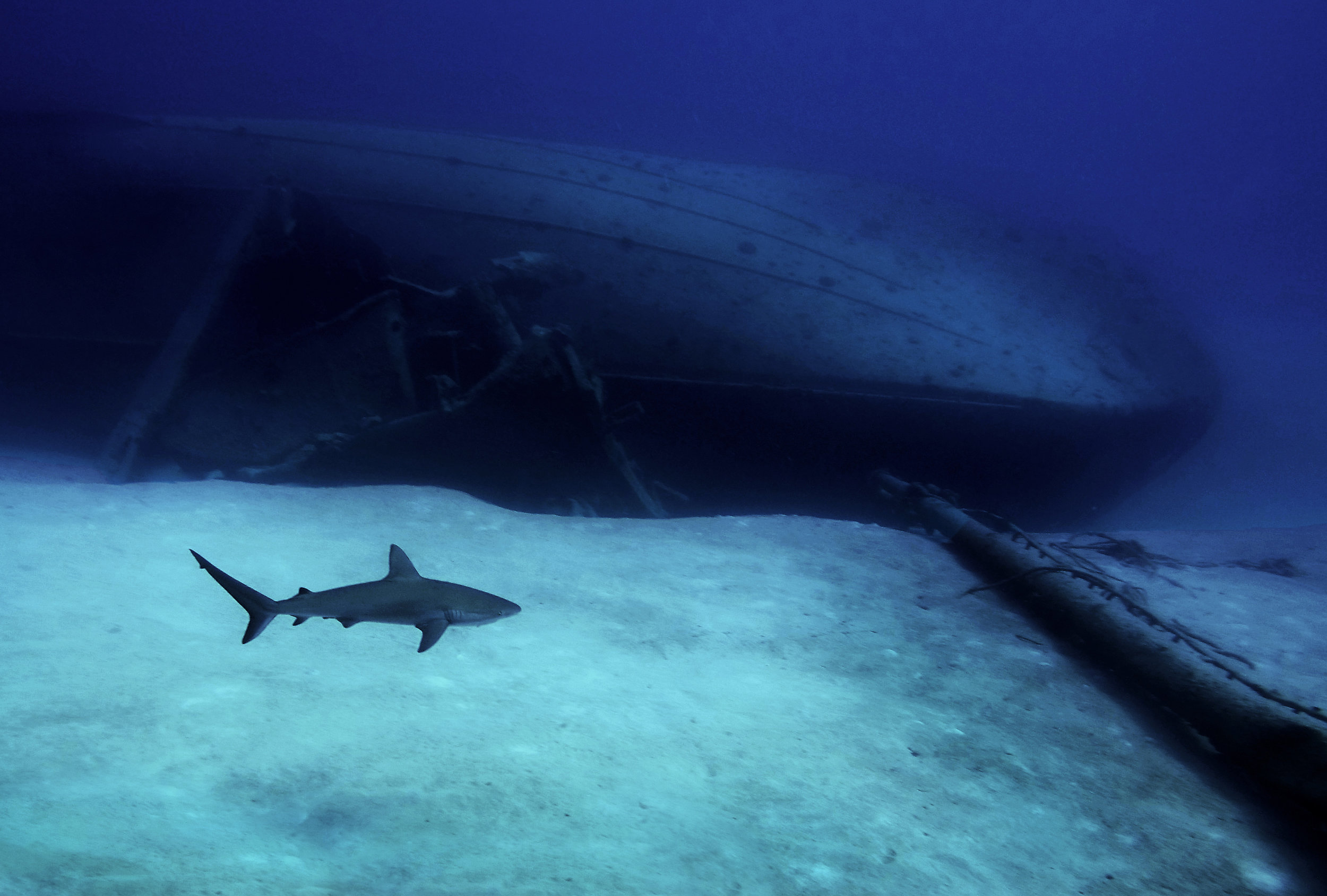 A Caribbean reef shark ( Carcharhinus perezii)  cruises past the wreck of a barge near Nassau.