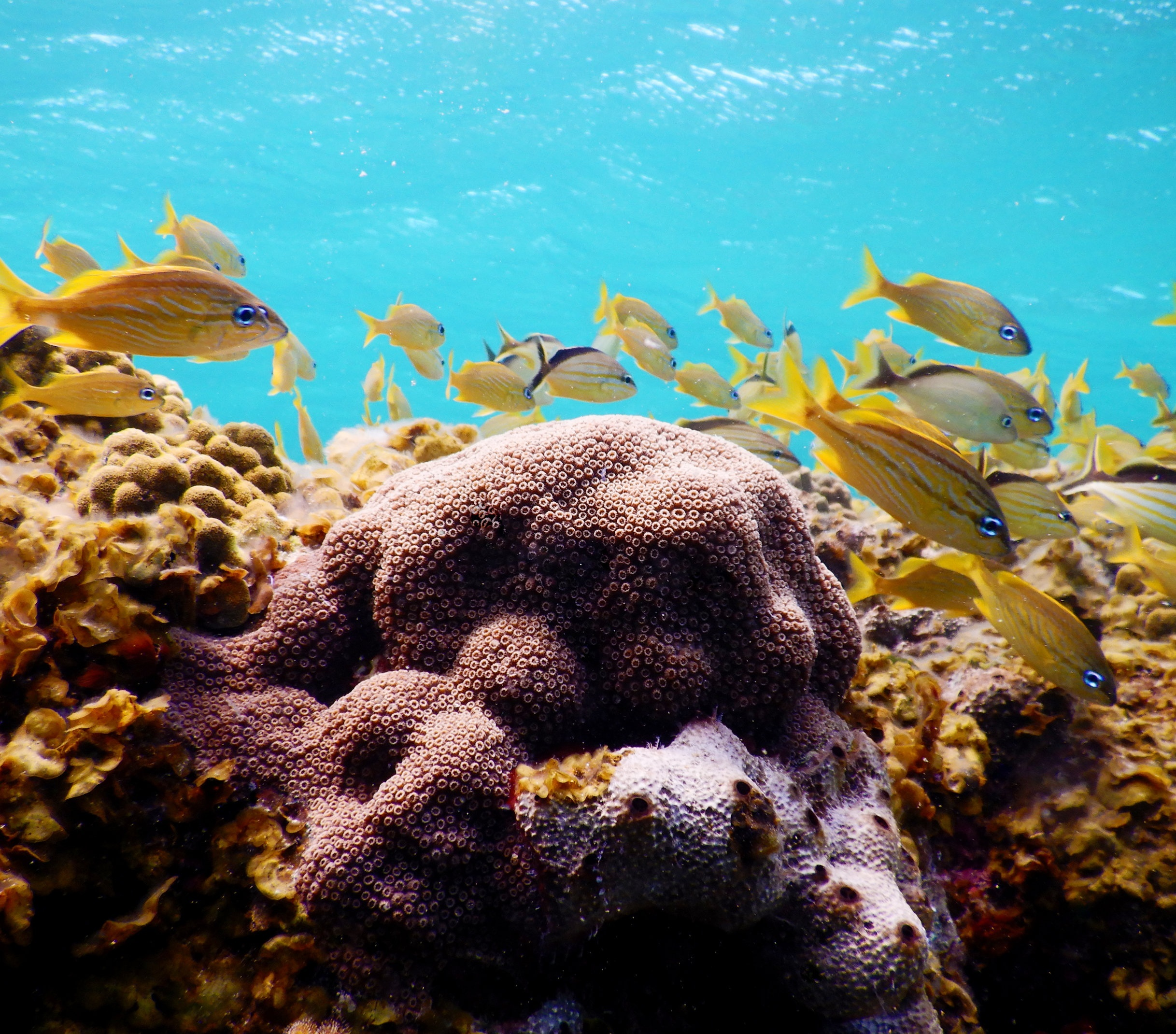 A mountainous star coral ( Orbicella faveolata ) colony surrounded by reef fish near Eleuthera.
