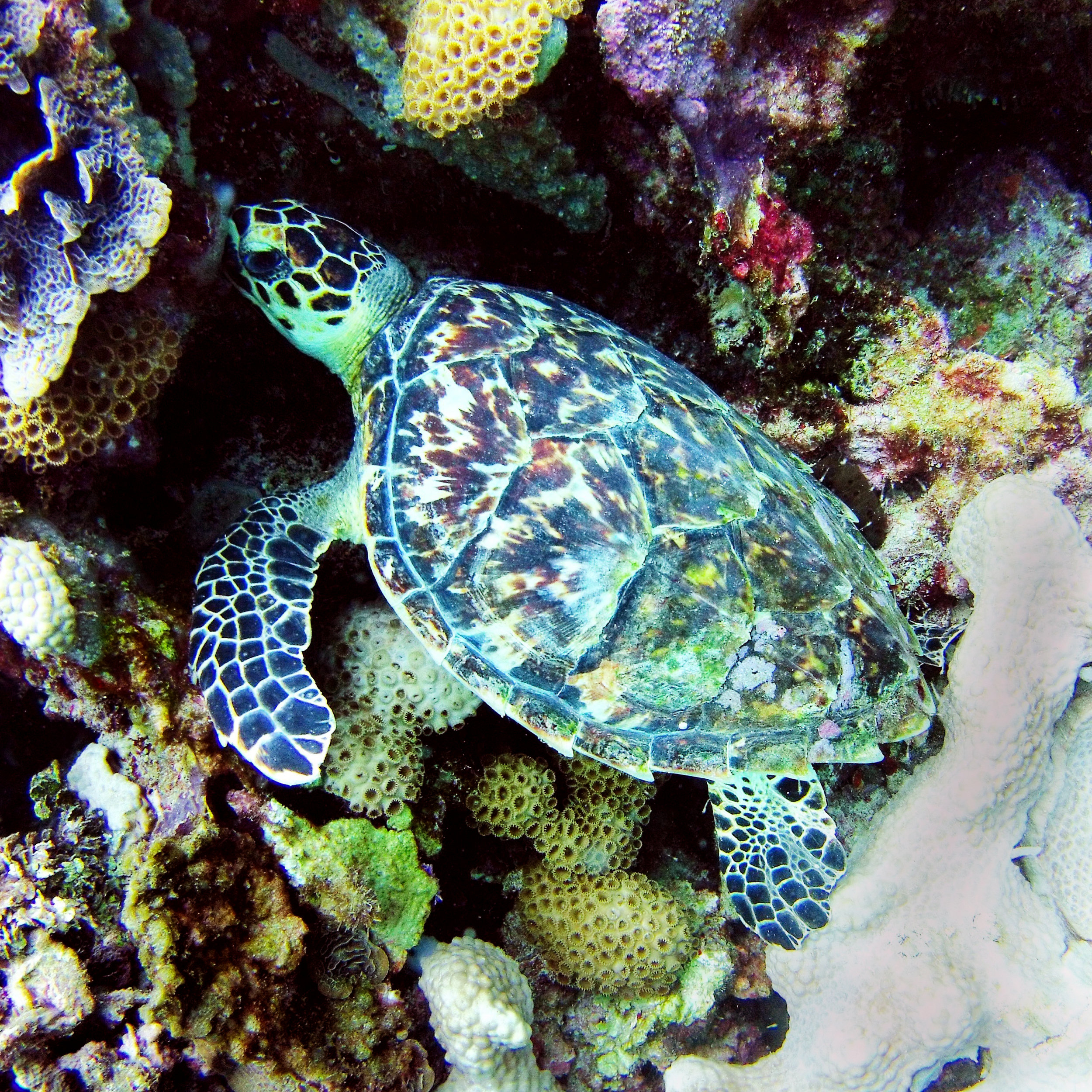 A young hawksbill sea turtle ( Eretmochelys imbricata ) rests on the reef.