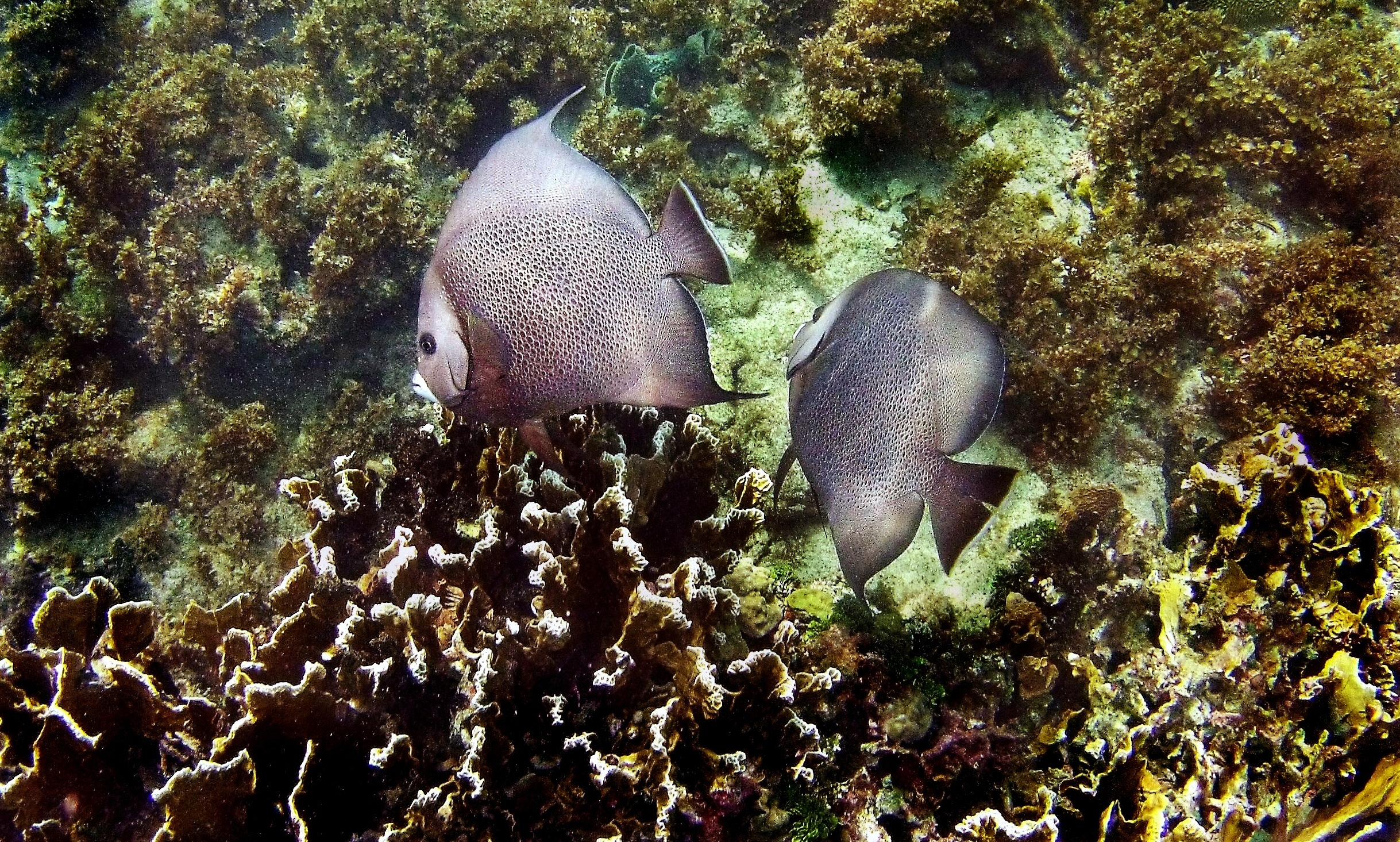 Two grey angelfish ( Pomacanthus arcuatus ) swim above a patch of fire coral.