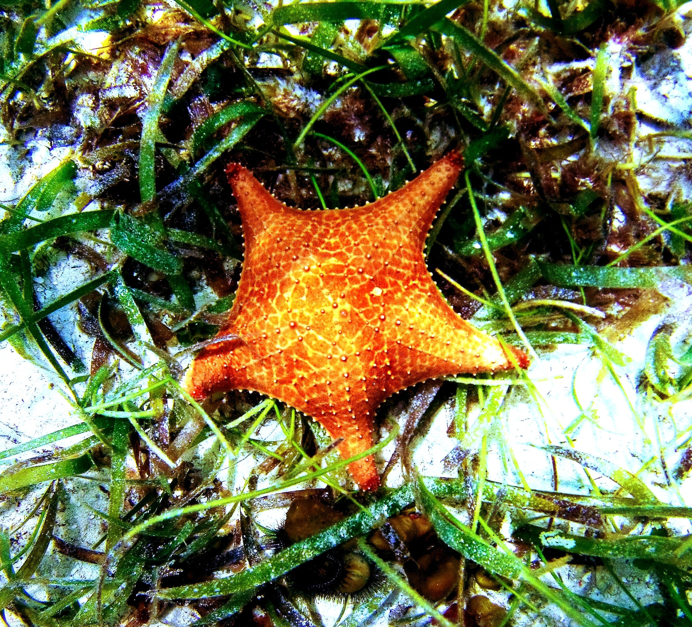 A cushion star ( Oreaster reticulatus ) amidst a seagrass bed.