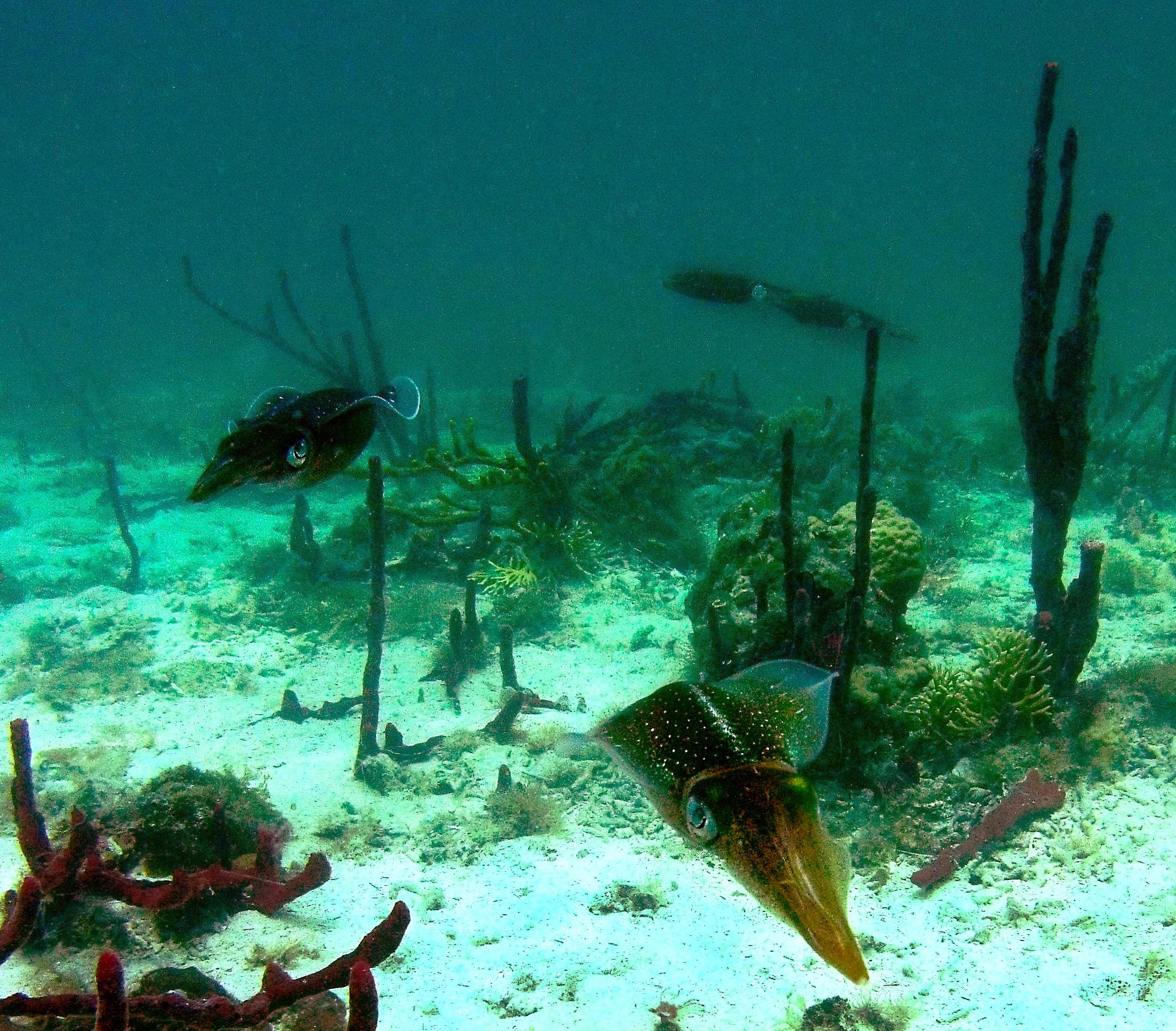 A school of Caribbean reef squid ( Sepioteuthis sepioidea )