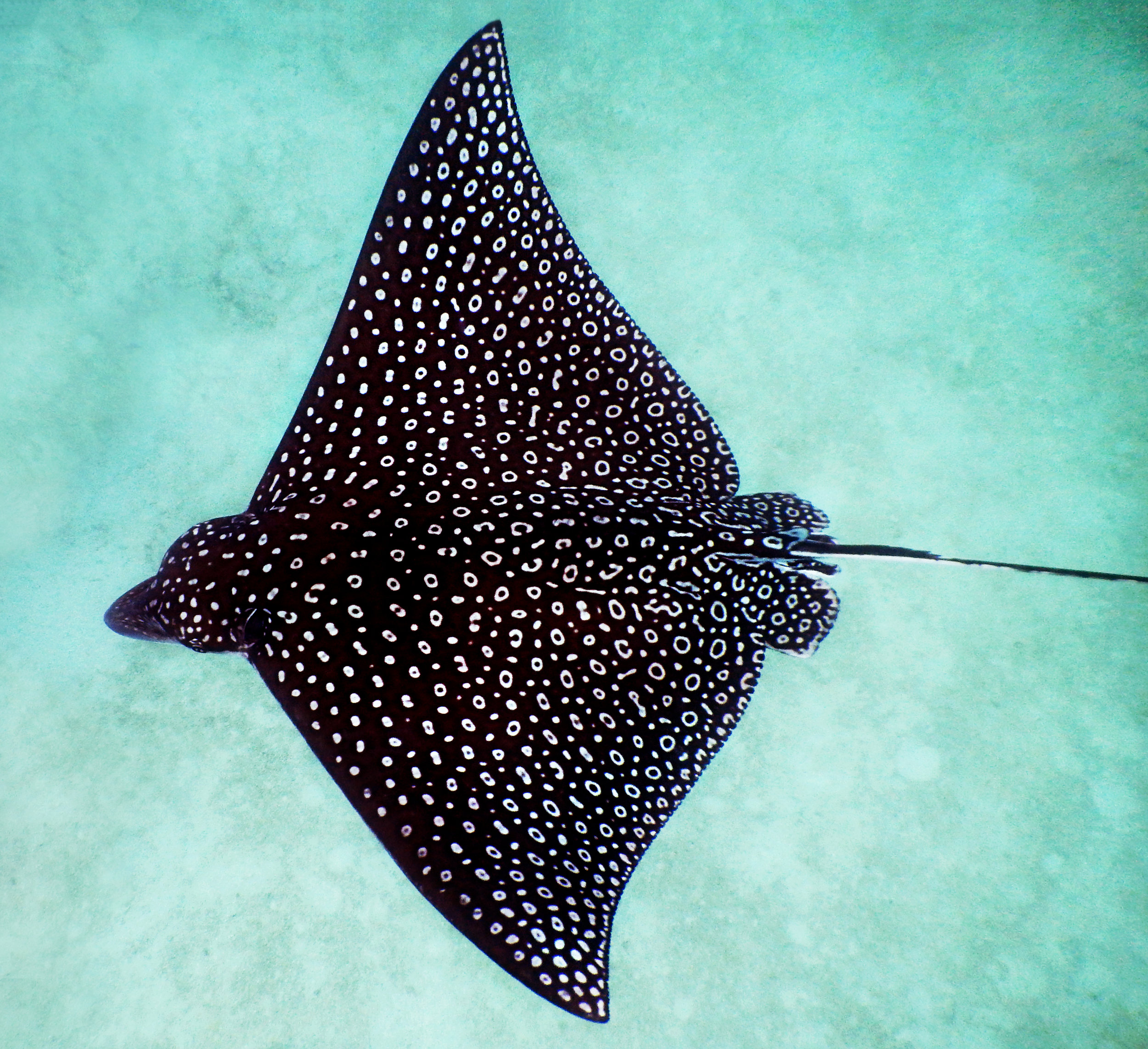 A spotted eagle ray ( Aetobatus narinari ) cruises over the sand in John Pennekamp Coral Reef State Park off Key Largo, FL.