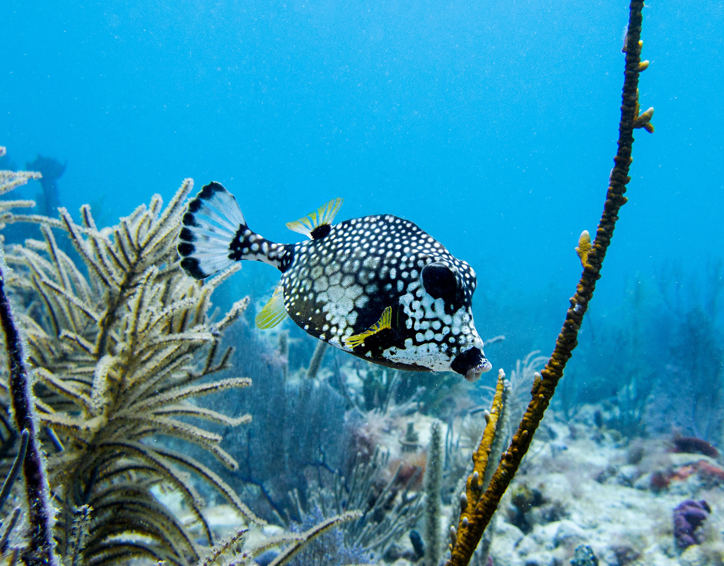 A smooth trunkfish ( Lactophrys triqueter )