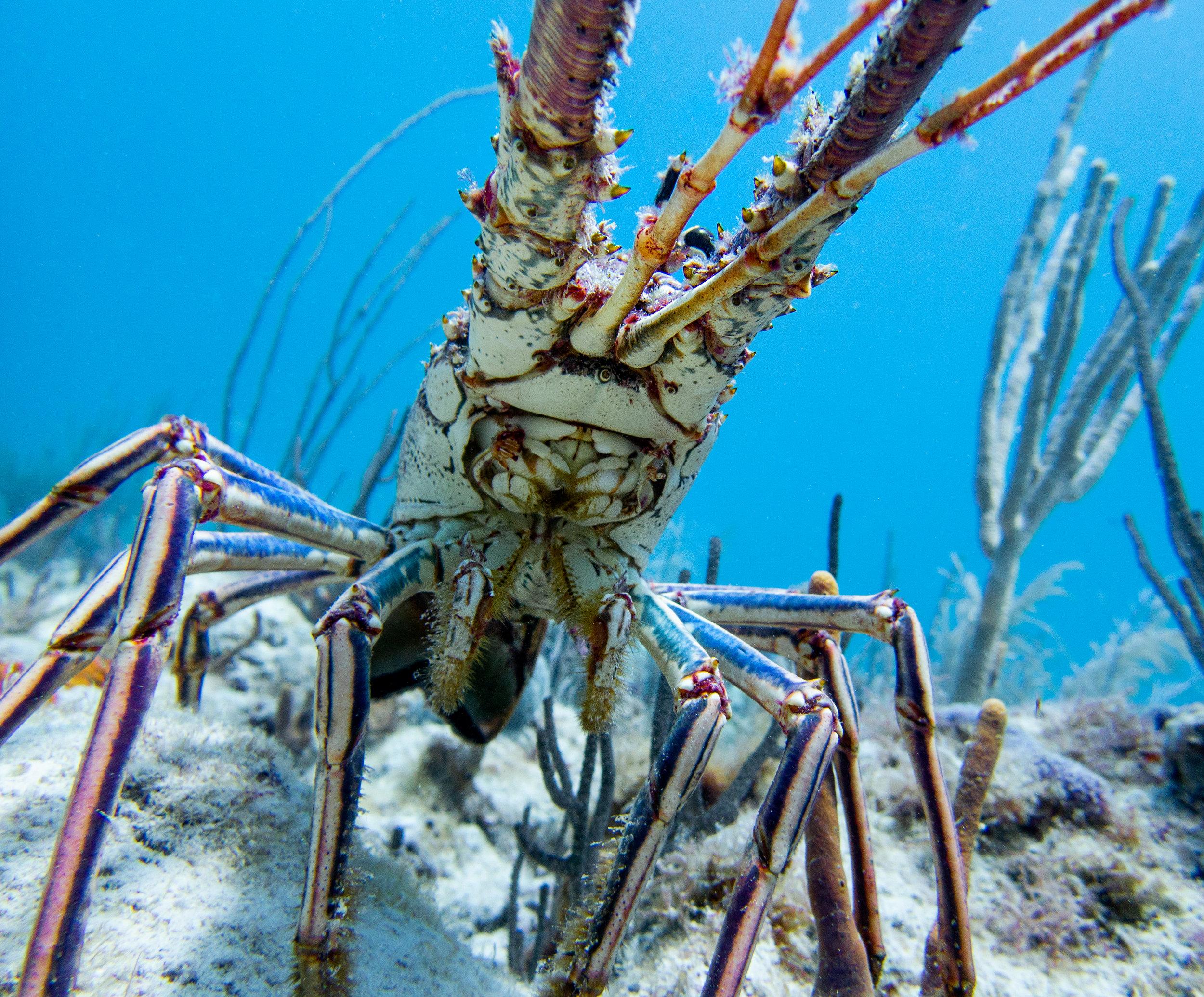 Caribbean spiny lobster ( Panulirus argus )