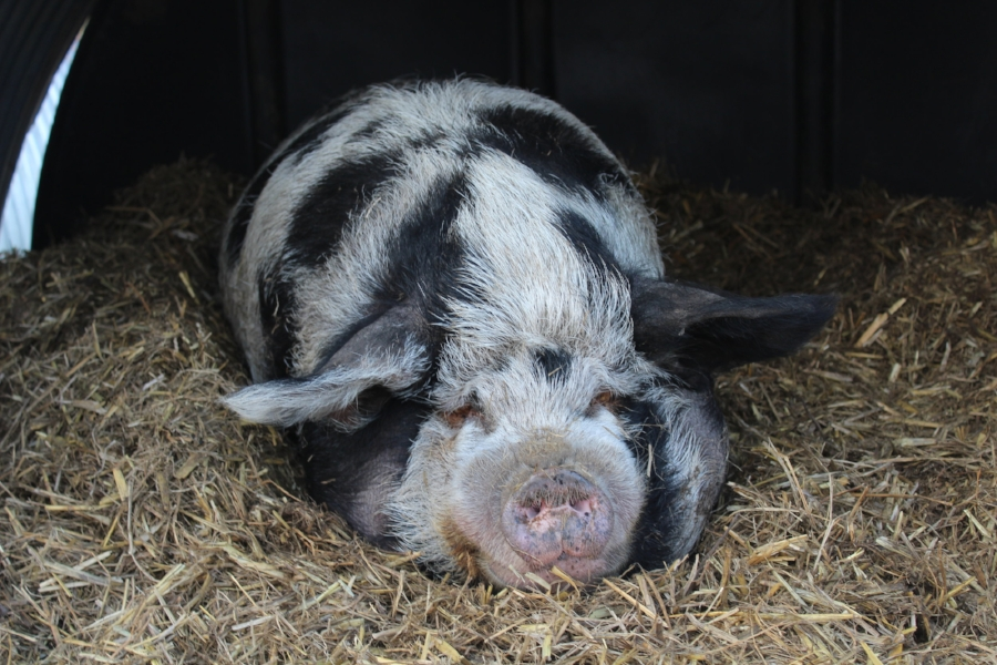FRIEND Farm Animal Rescue, Kent